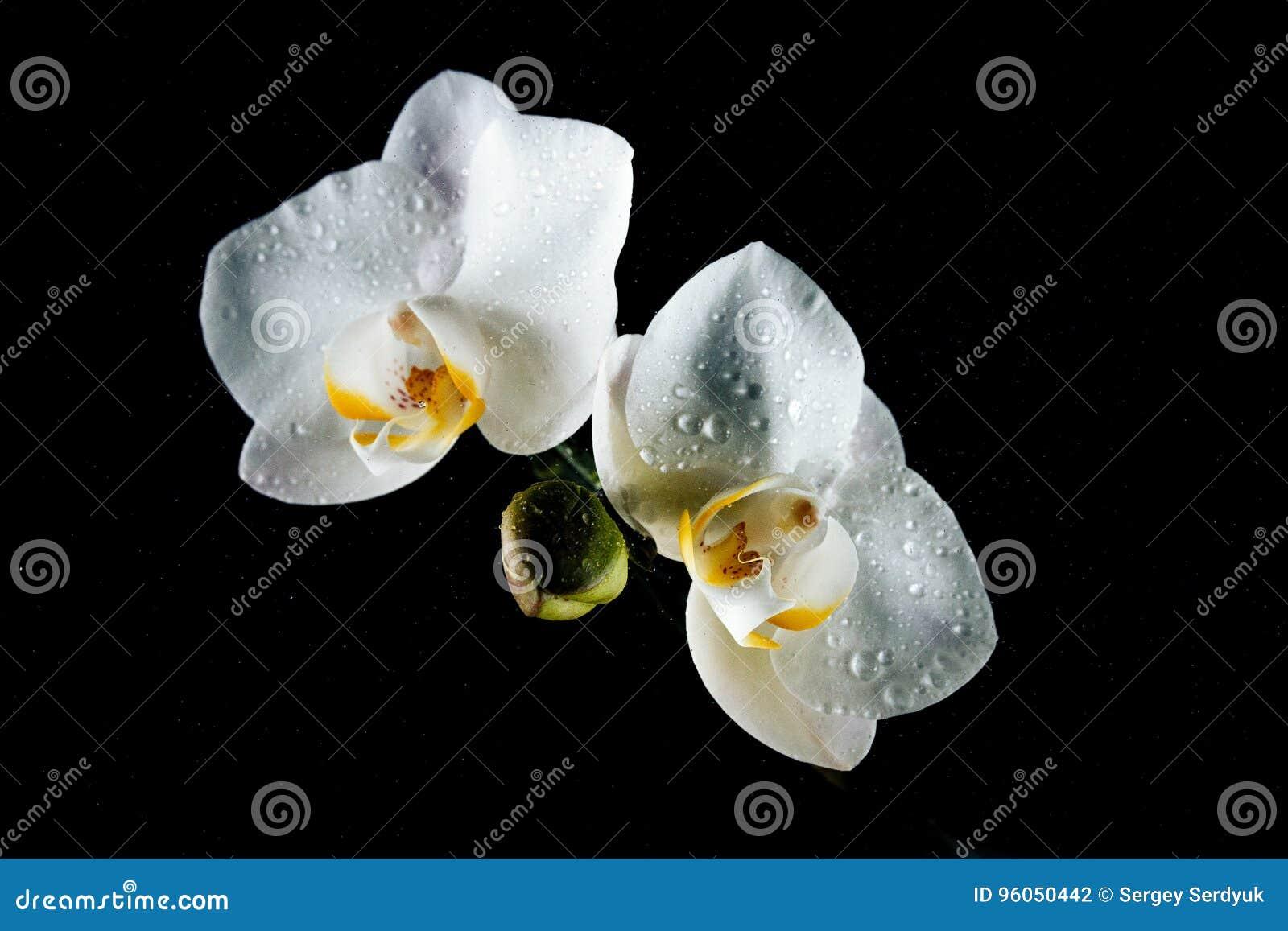 Belle orchidée sensible blanche de fleurs couverte de baisses de De