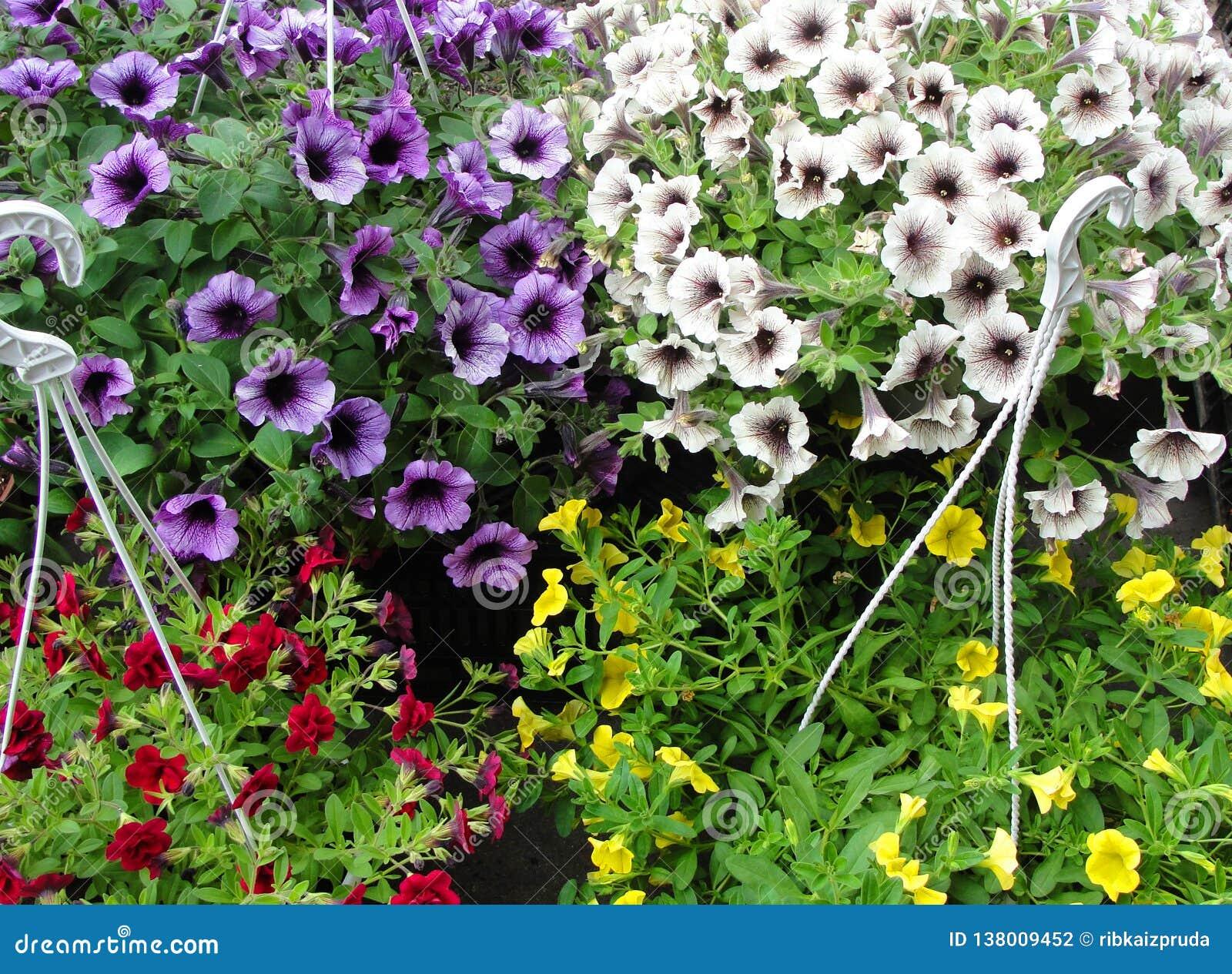 Belle petunie in vasi da fiori d attaccatura