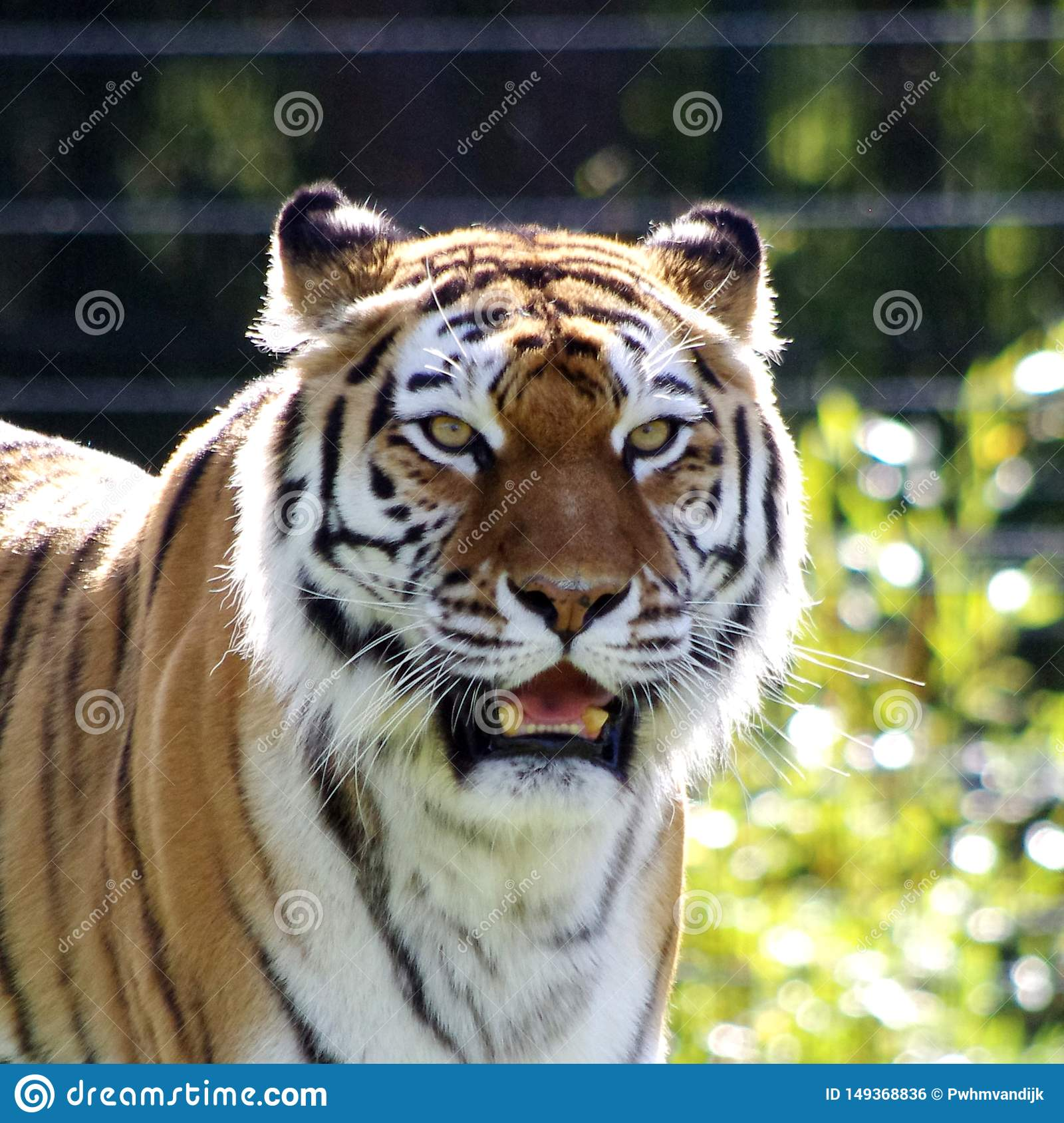 Belle photo d un tigre