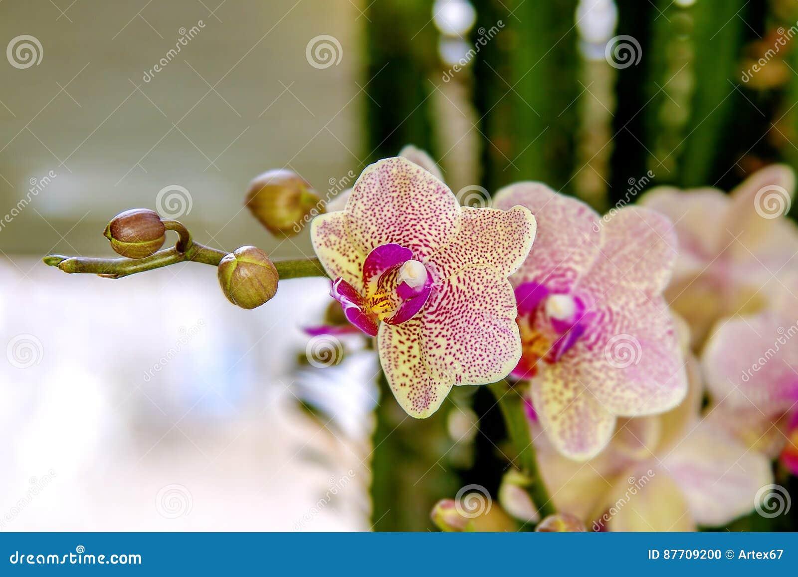 Belle pièce de fleur fleurissant l orchidée repérée