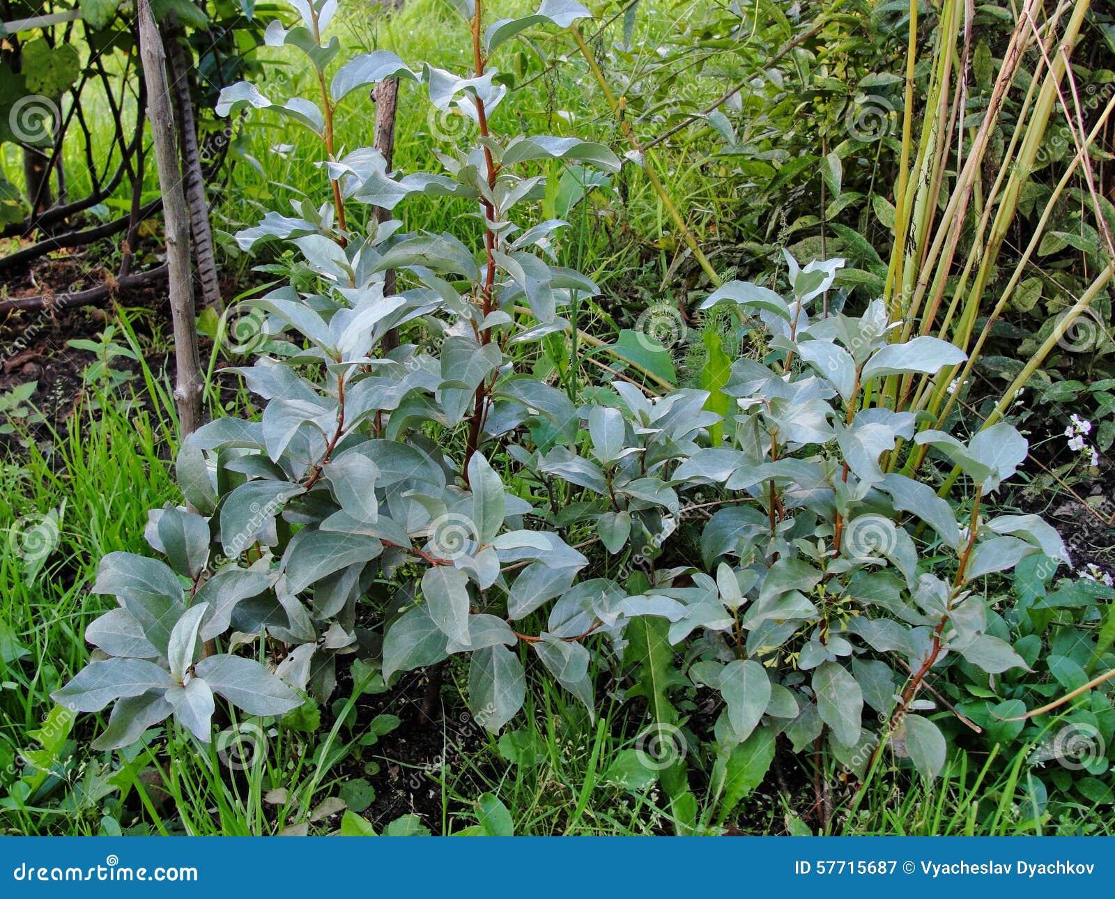 Arbusti Decorativi Da Giardino : Belle piante ornamentali nel giardino di estate silverberry