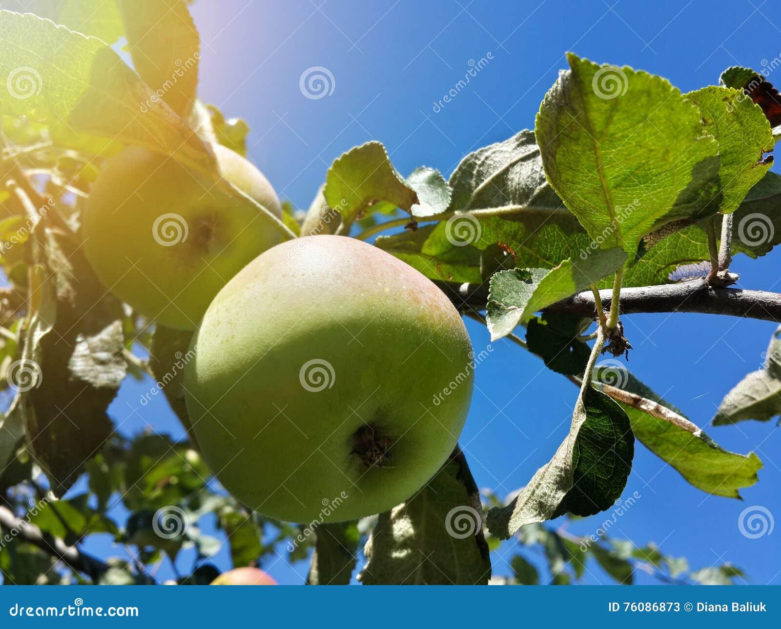 Belle pomme de jardin et ciel bleu