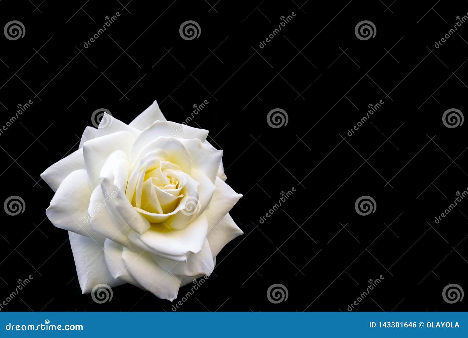 Belle rose blanche d isolement sur le fond noir Id?al pour des cartes de voeux pour ?pouser, anniversaire, Saint-Valentin, le jou