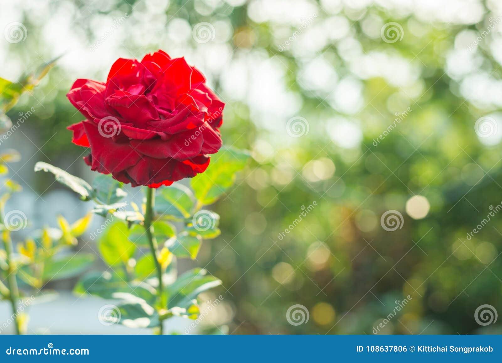 belle rose de floraison de rouge dans le jardin photo stock - image