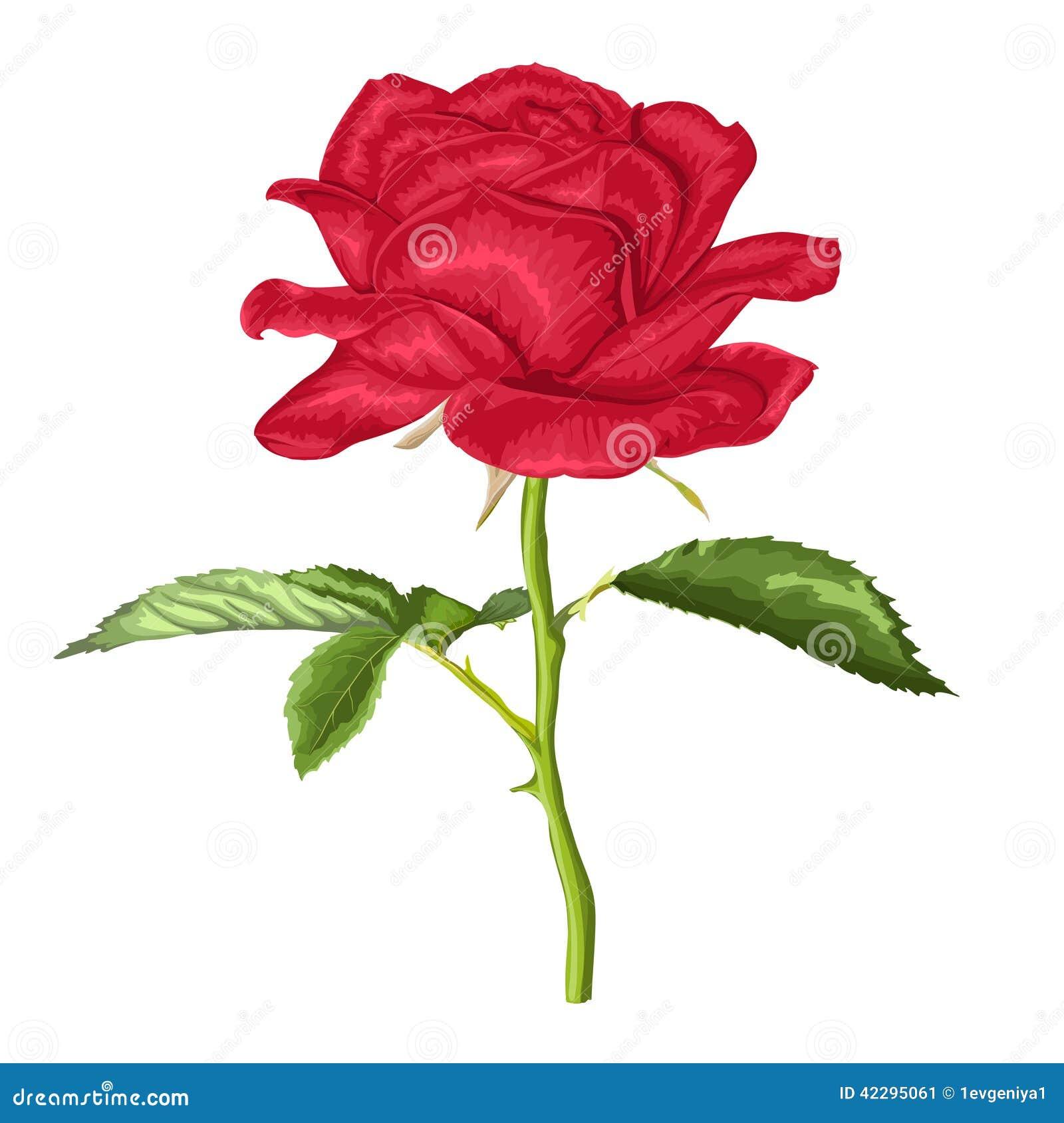 Belle rose de rouge de longue tige et feuilles avec l 39 effet d 39 un dessin d 39 aquarelle d 39 isolement - Comment couper une rose sur un rosier ...