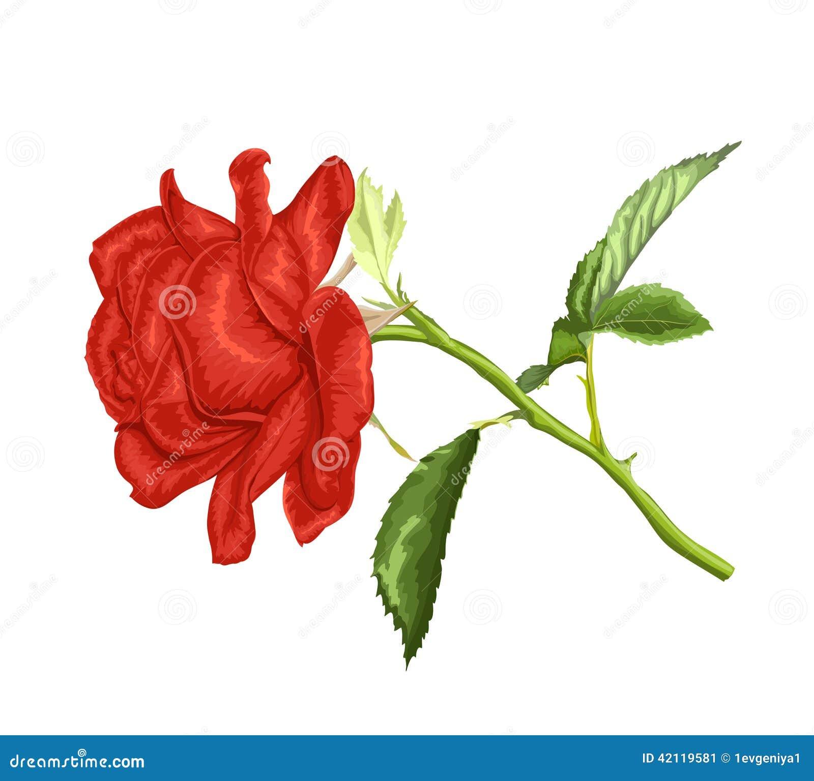 Belle rose de rouge de longue tige et feuilles d 39 isolement - Rose avec tige ...