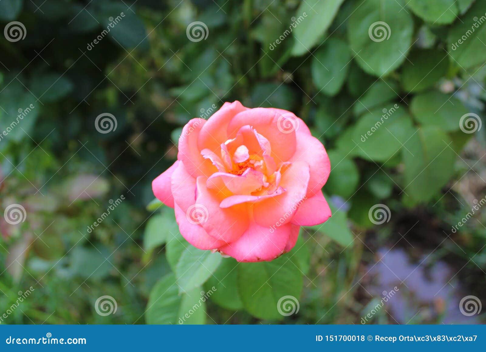 Belle rose rose et feuilles vertes