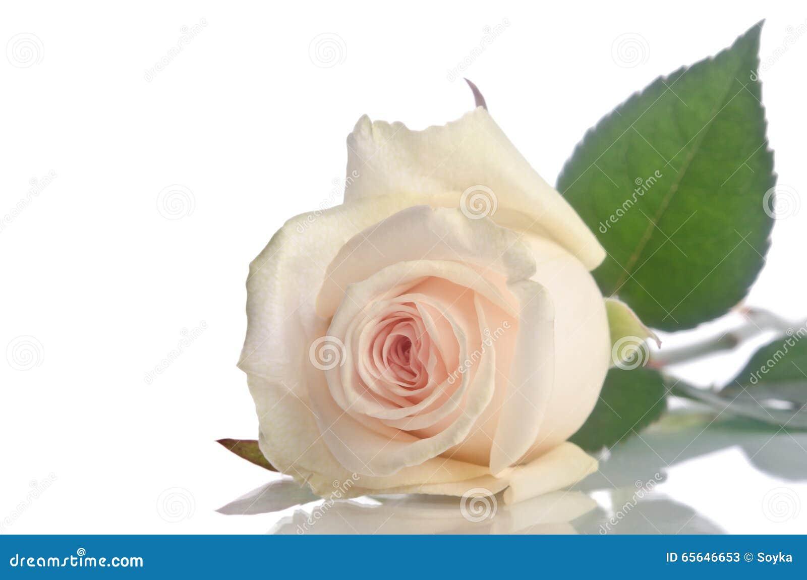 Belle rose simple de blanc