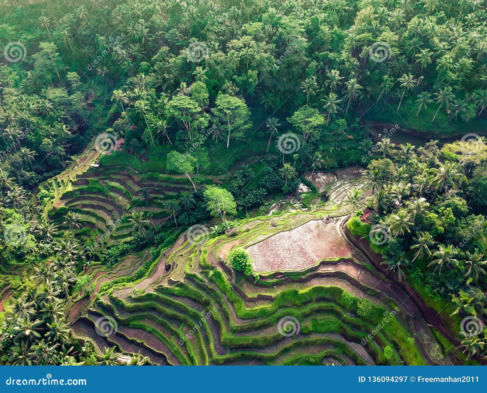 Belle viste dei terrazzi del riso sui precedenti della giungla