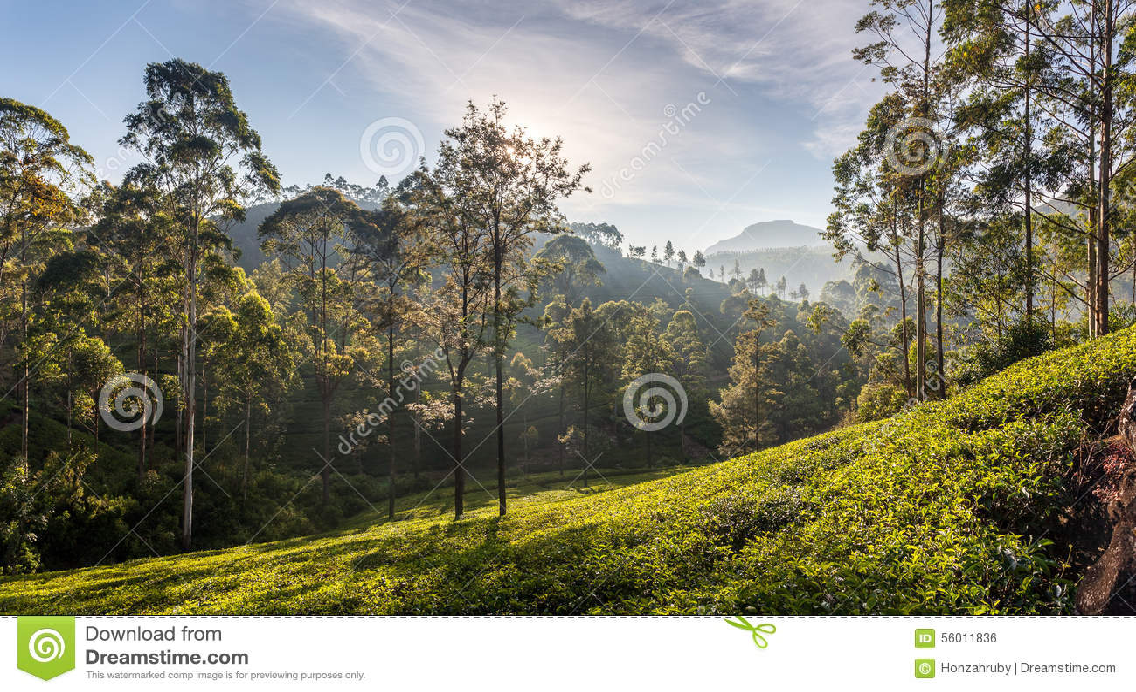 Belle vue panoramique d une plantation de thé typique, Sri Lanka