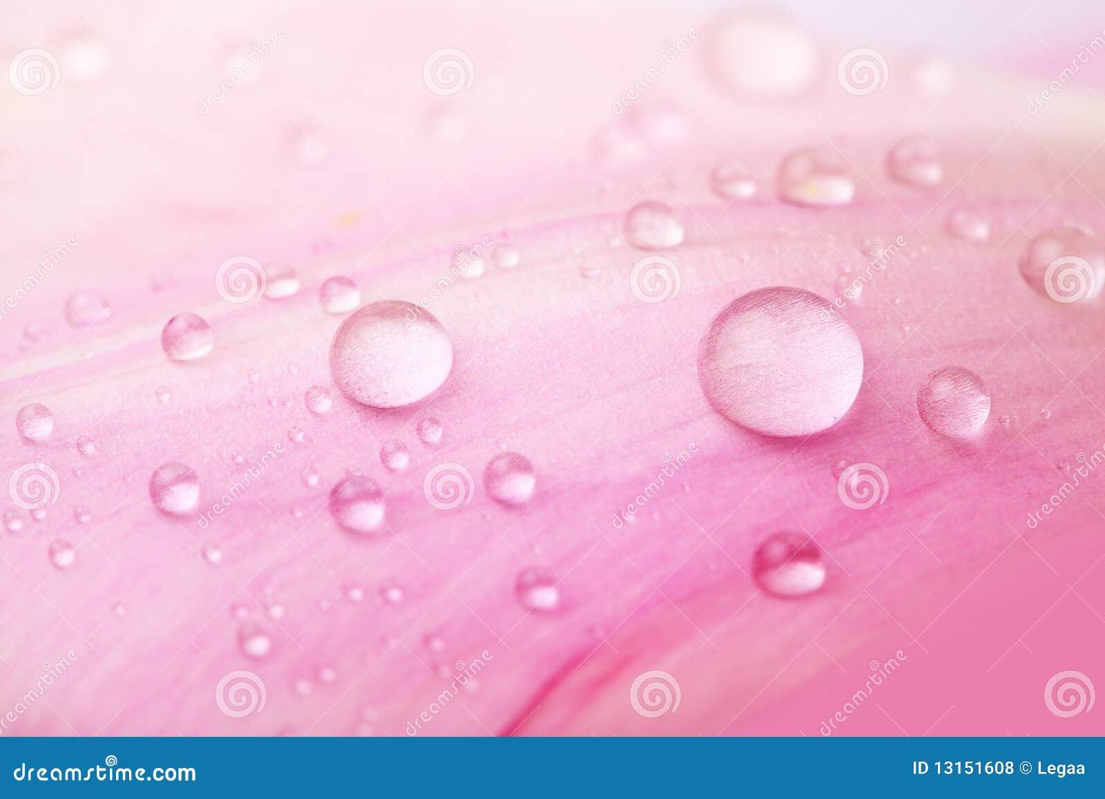 Belles baisses de l eau sur les pétales roses