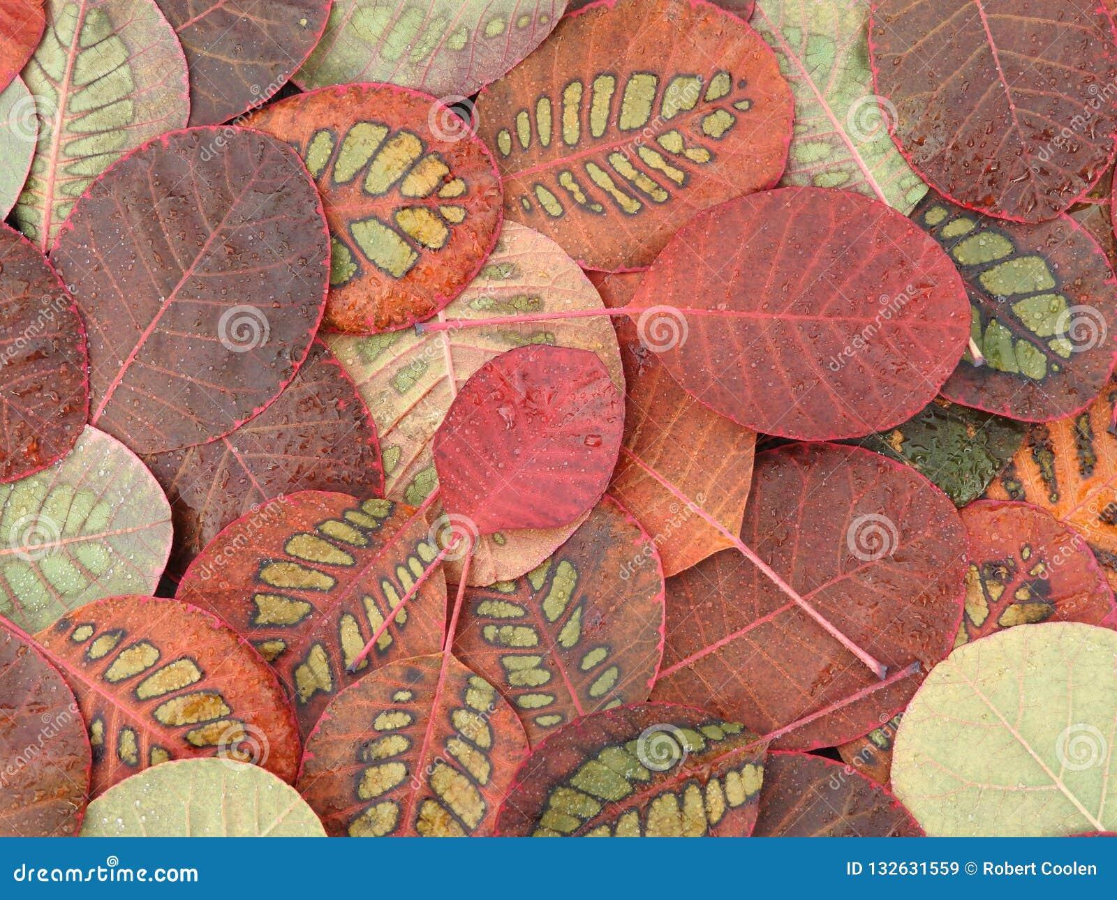 Belles feuilles d automne colorées, Cotinus spécial de modèle