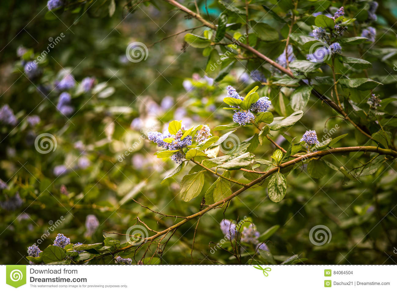 belles fleurs bleues dans l 39 habitat naturel photo stock image du arbre botanique 84064504. Black Bedroom Furniture Sets. Home Design Ideas