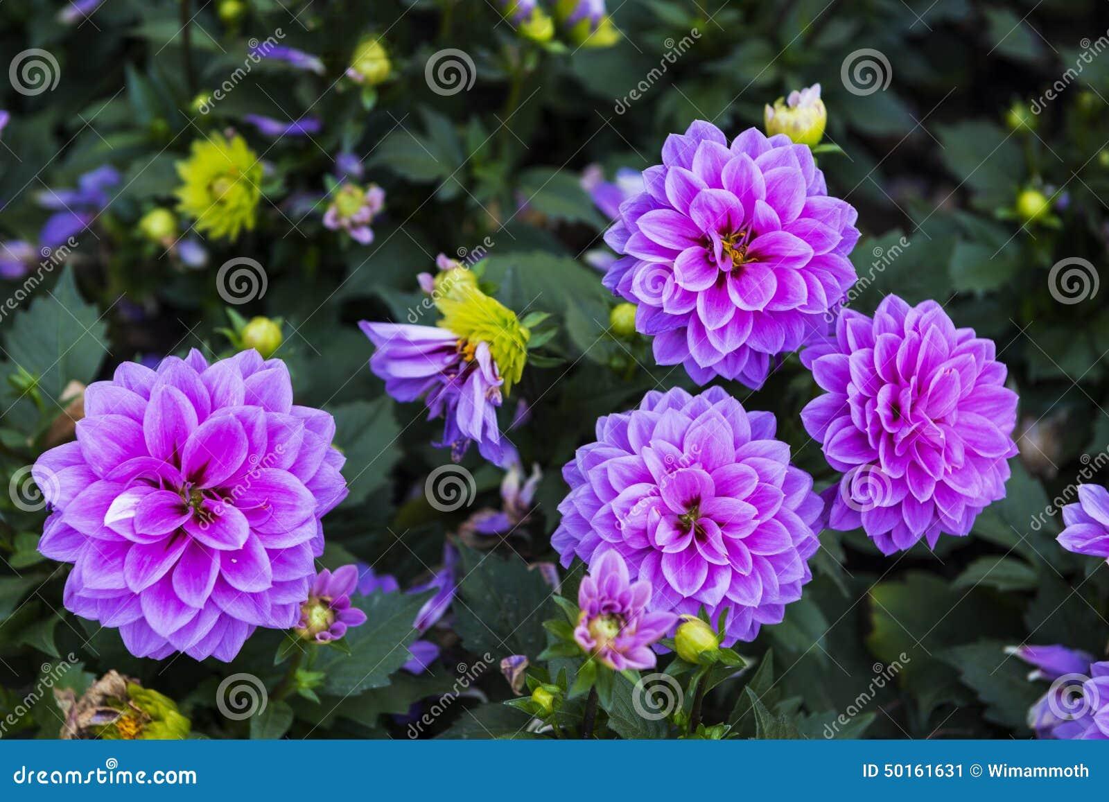 belles fleurs d 39 automne image stock image du outdoors. Black Bedroom Furniture Sets. Home Design Ideas