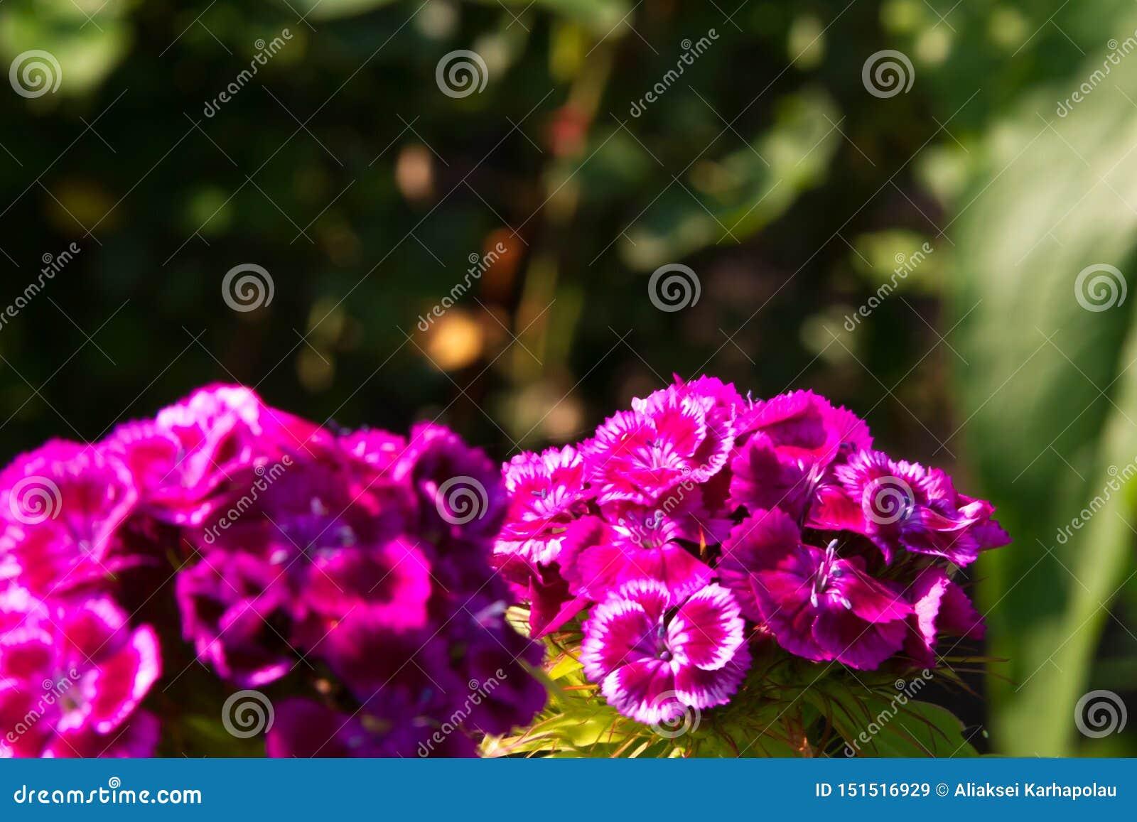 Belles fleurs d oeillet turc dans le jardin ensoleillé d été