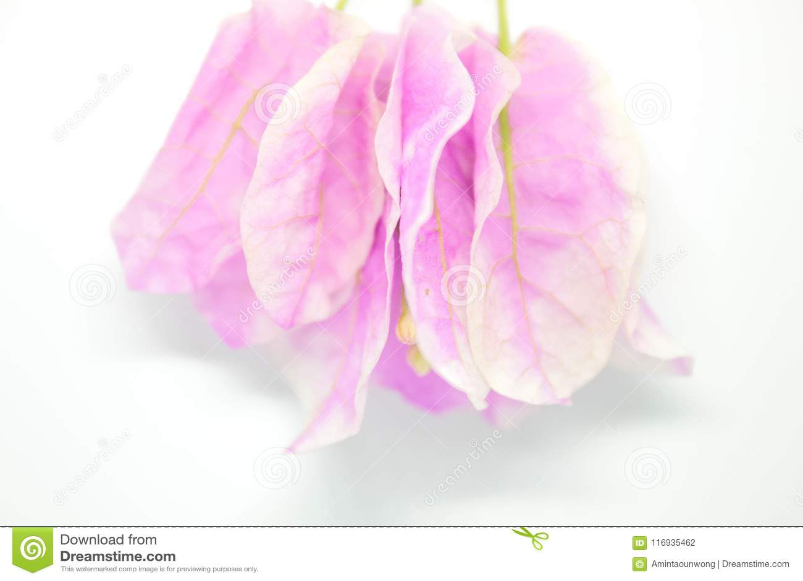 Belles fleurs de bouganvillée sur le fond blanc