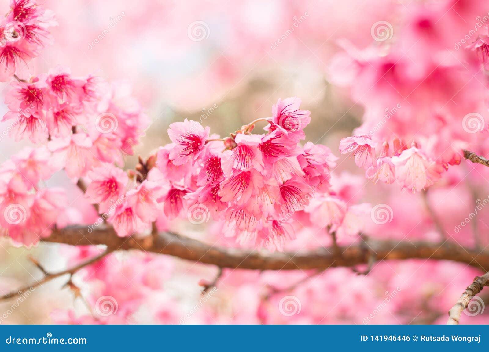 Belles fleurs de cerisier roses dans le jardin