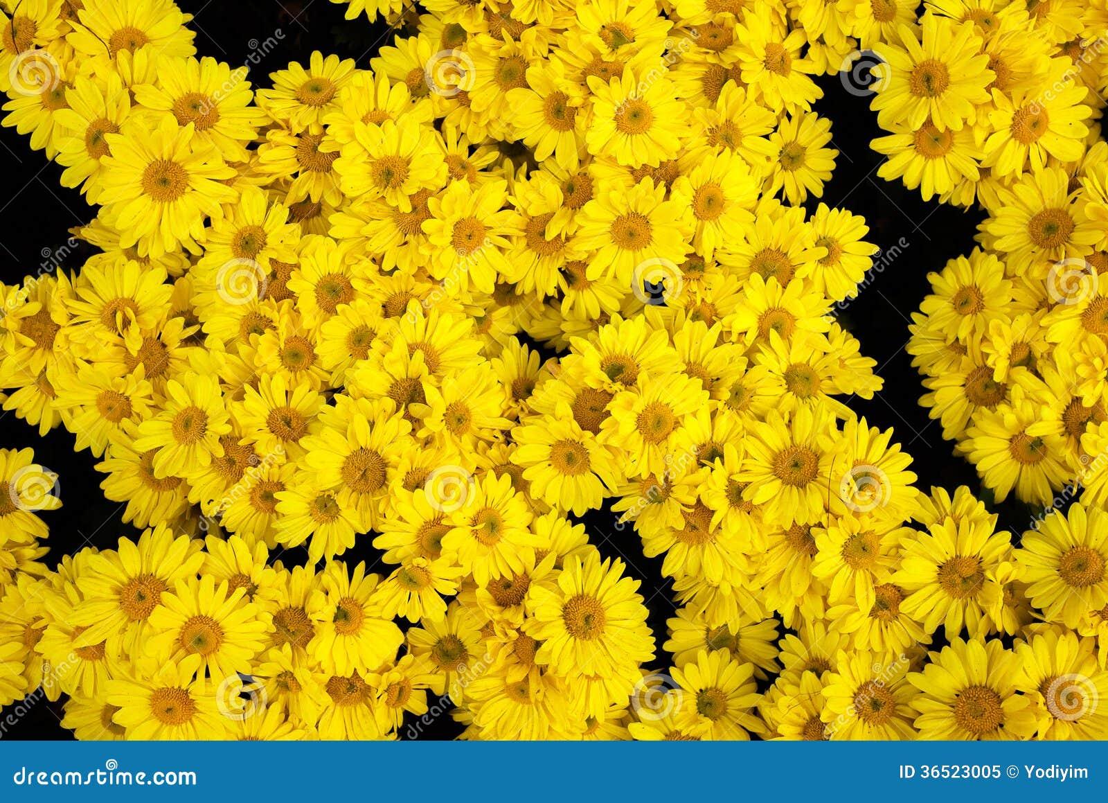 Belles fleurs de chrysanthème