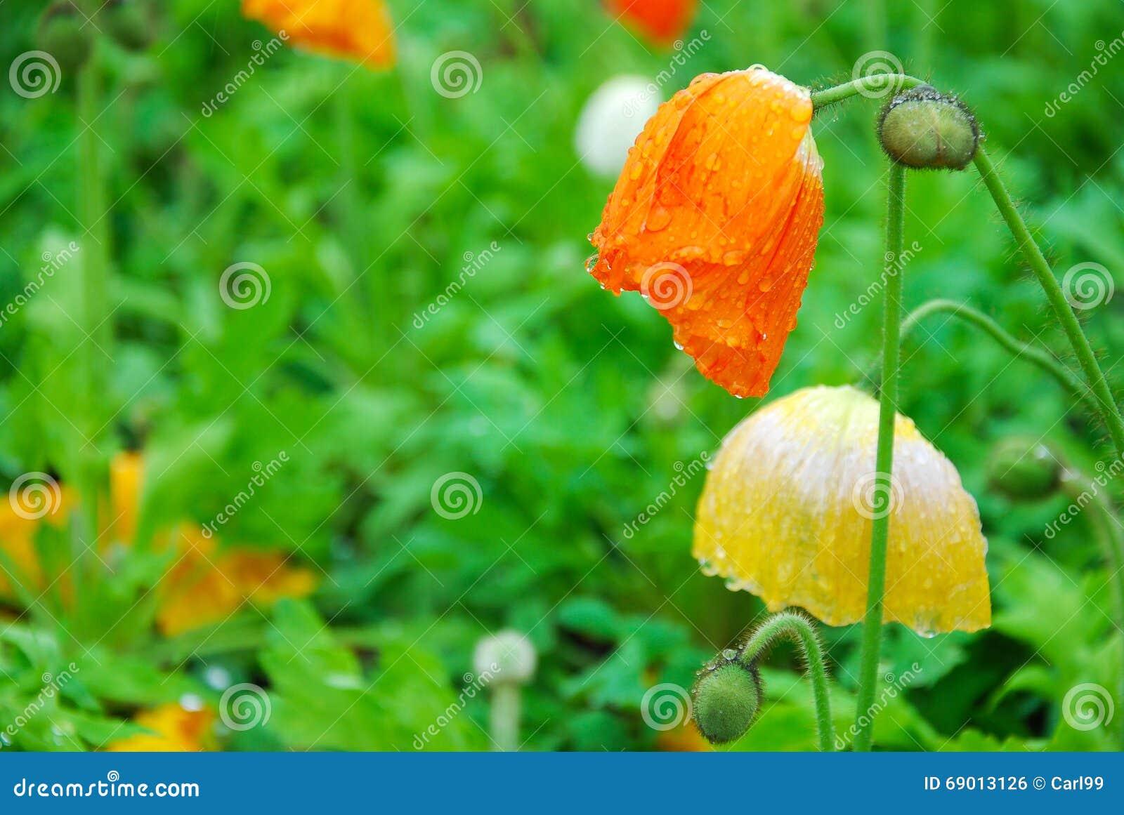 Belles fleurs de floraison de pavot de maïs