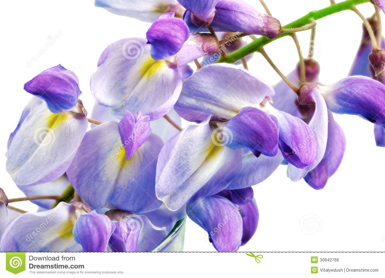 belles fleurs de glycine d 39 isolement sur le fond blanc photo stock image 30842766. Black Bedroom Furniture Sets. Home Design Ideas