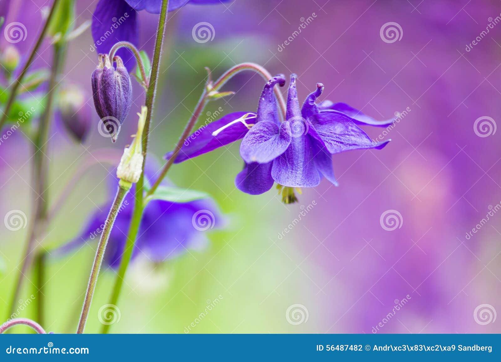 Belles fleurs de jacinthe des bois avec le fond trouble