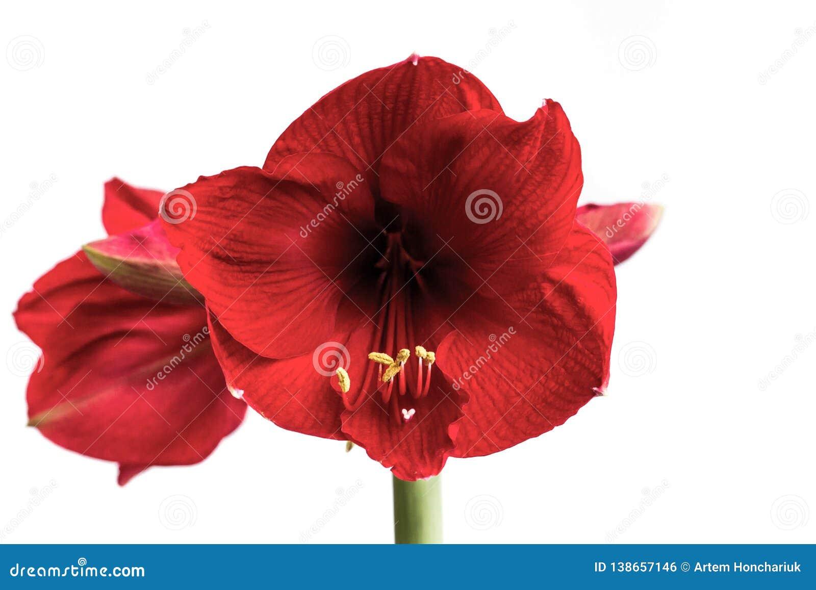 Belles Fleurs De L Usine A Bulbe Hippeastrum Le Fond Fleurit Le