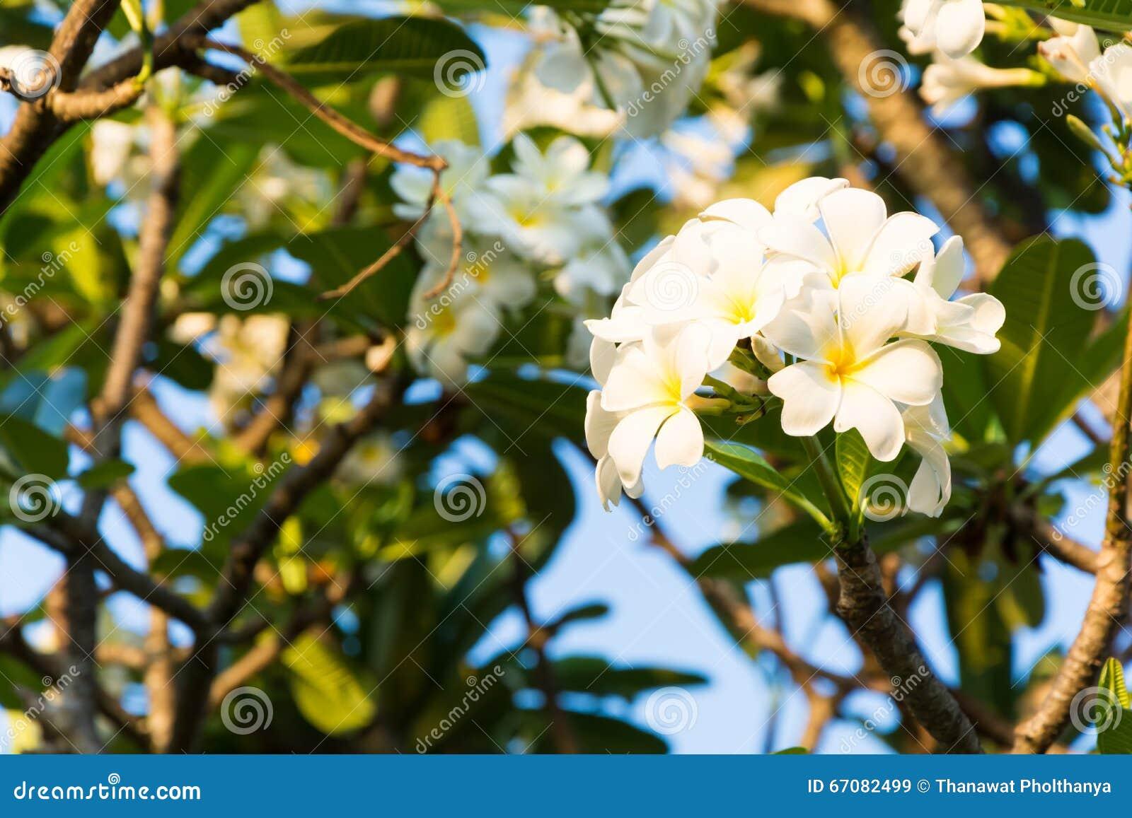 Belles fleurs de plumeria