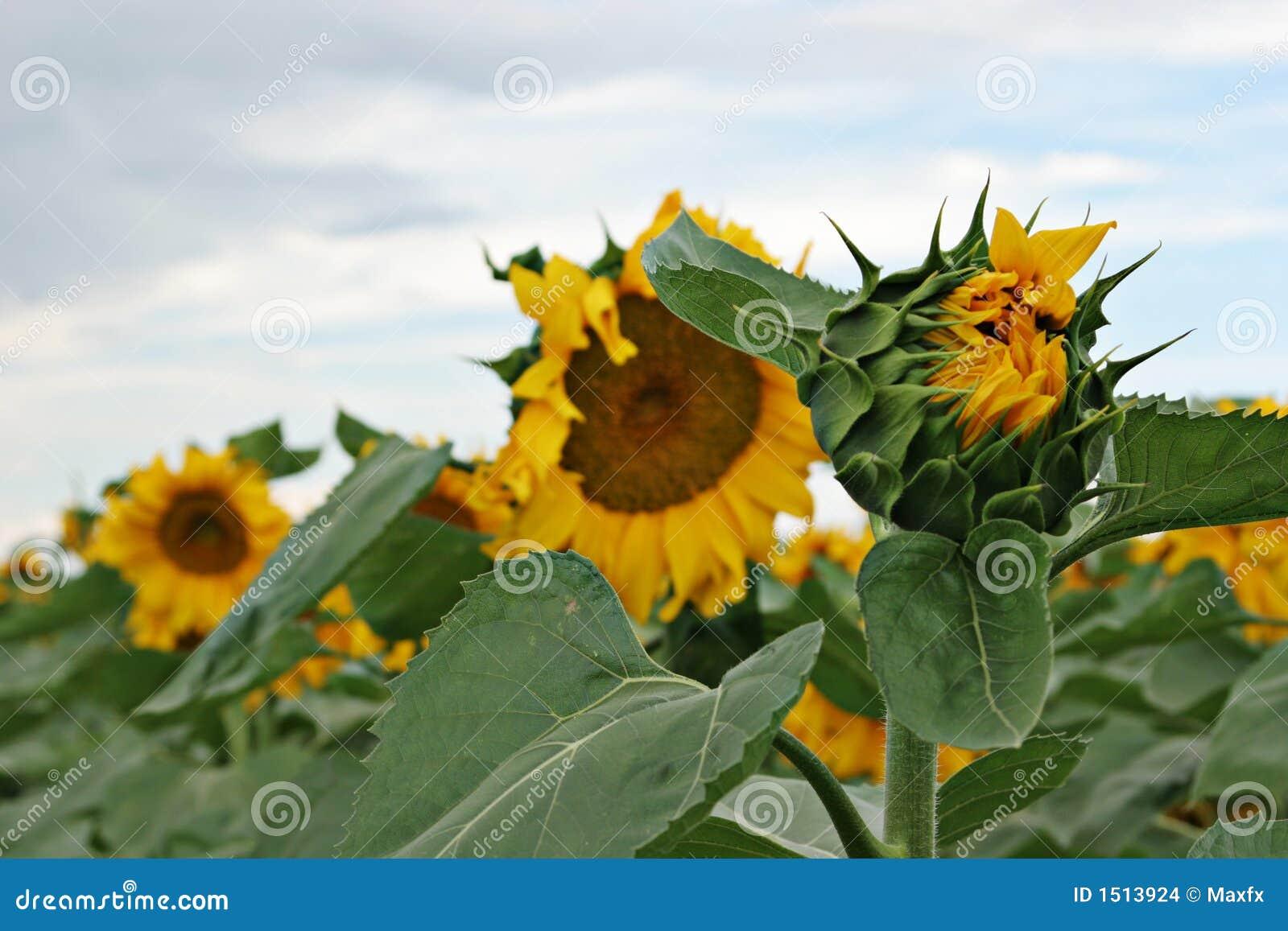 Belles fleurs du soleil images stock image 1513924 - Fleur du soleil ...