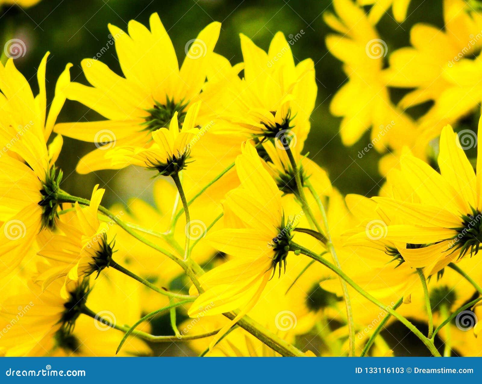 Belles fleurs jaunes lumineuses avec le fond Fleur d été