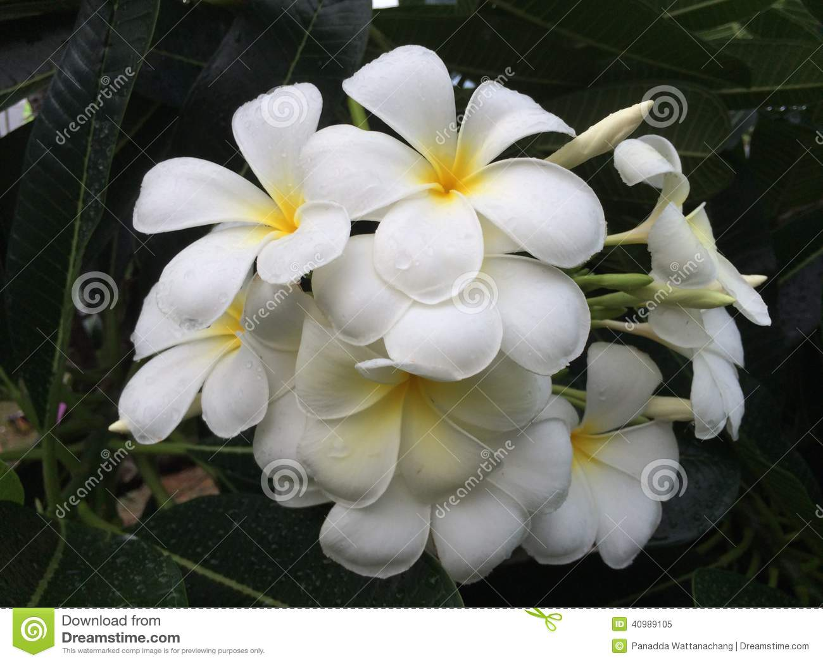 fleurs exotiques blanches. Black Bedroom Furniture Sets. Home Design Ideas