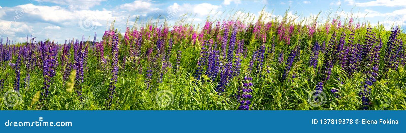 Belles fleurs pourpres sur un pré rural