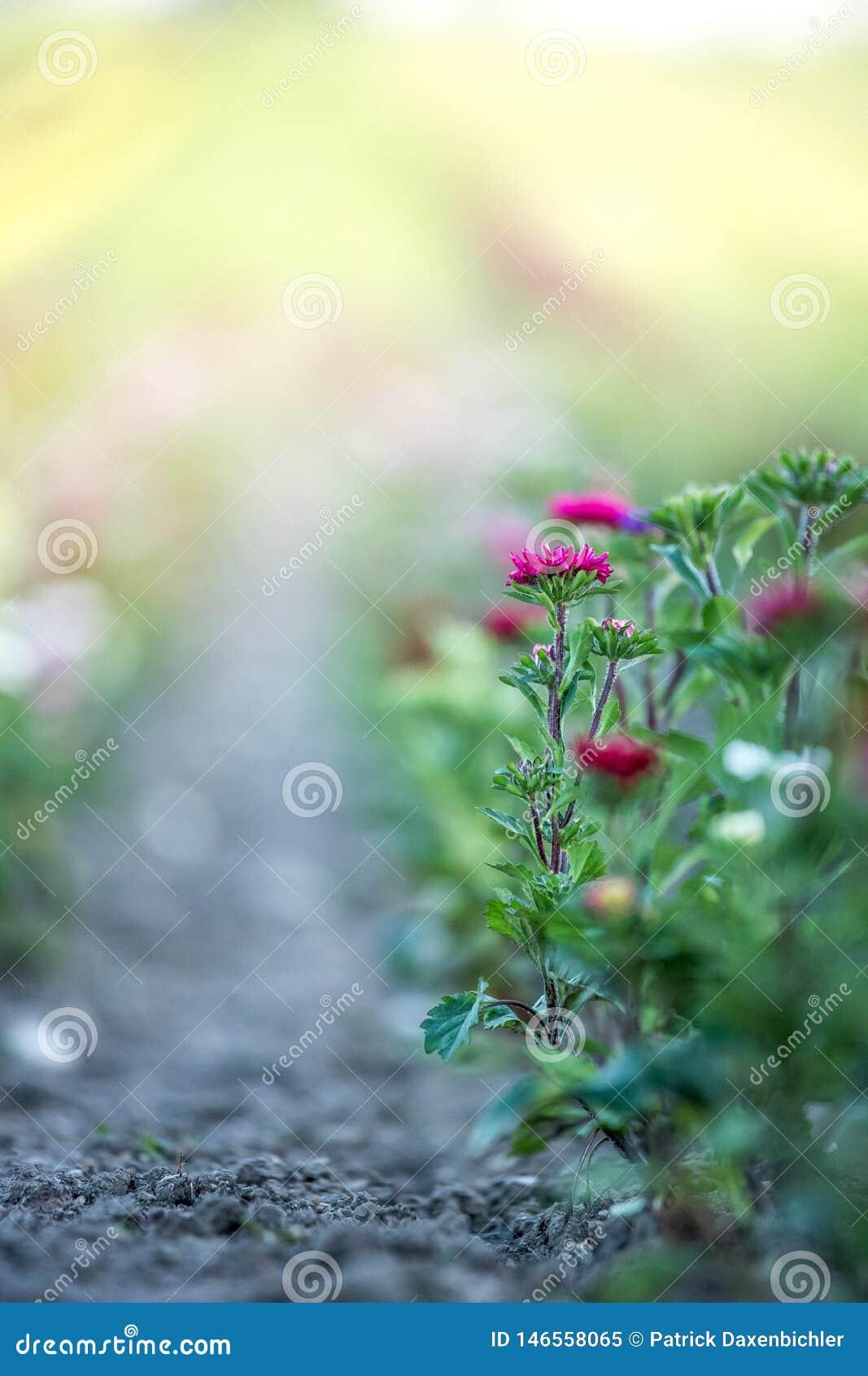 Belles fleurs, recueillies sur un champ