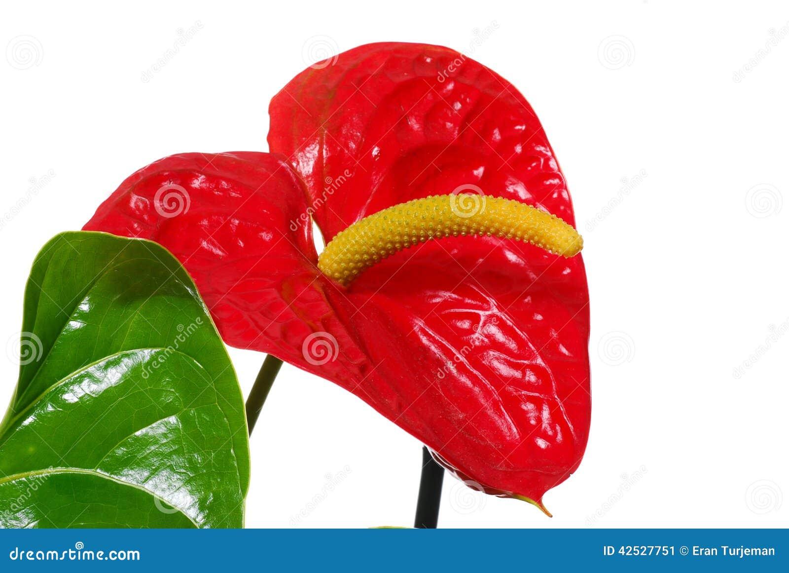 Belles Fleurs Rouges Chaudes Brillantes Avec La Feuille Verte Image