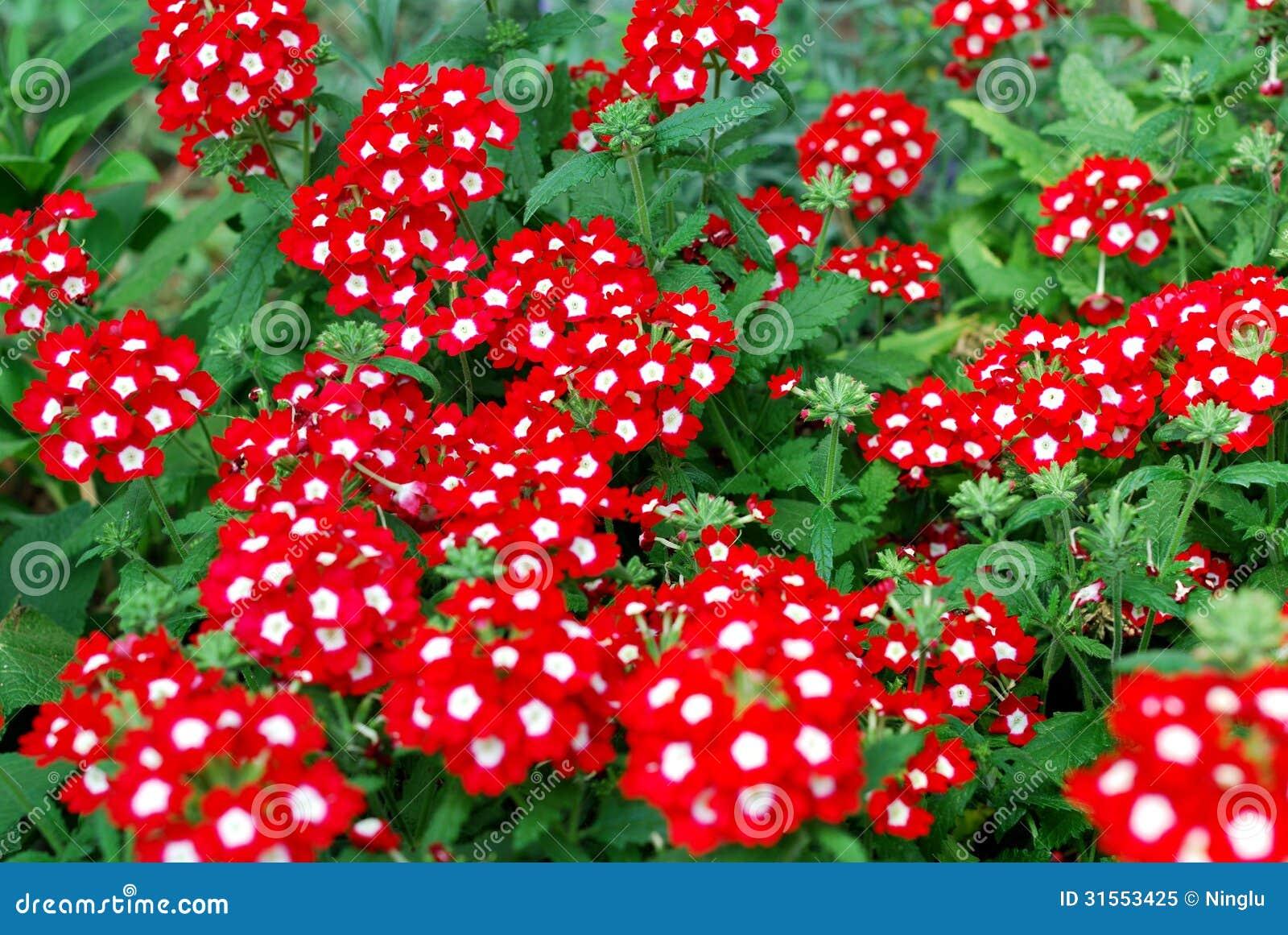 Belles Fleurs Rouges De Verveine Dans Un Jardin Image stock - Image ...