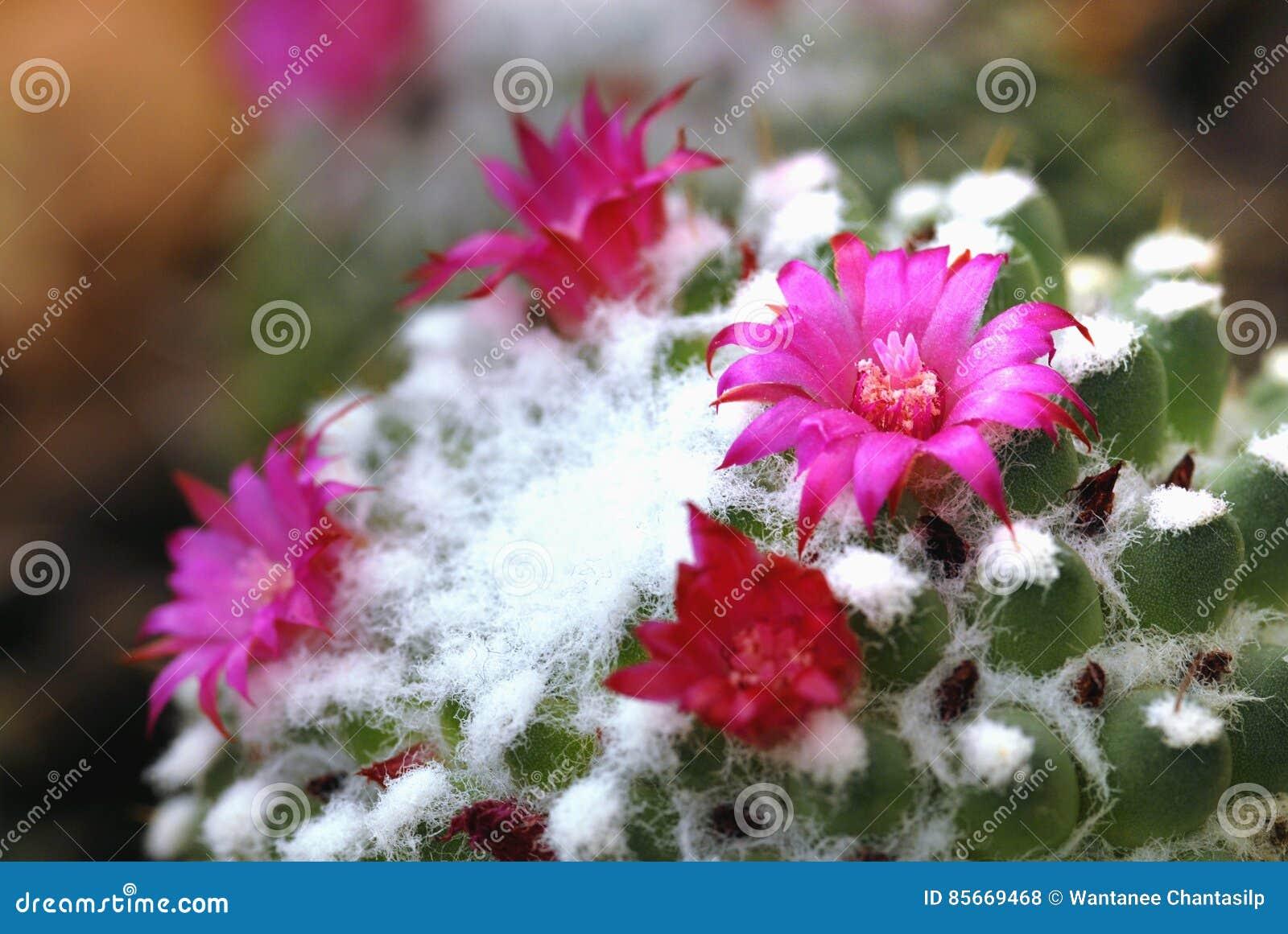 belles fleurs sauvages roses de floraison de cactus de désert