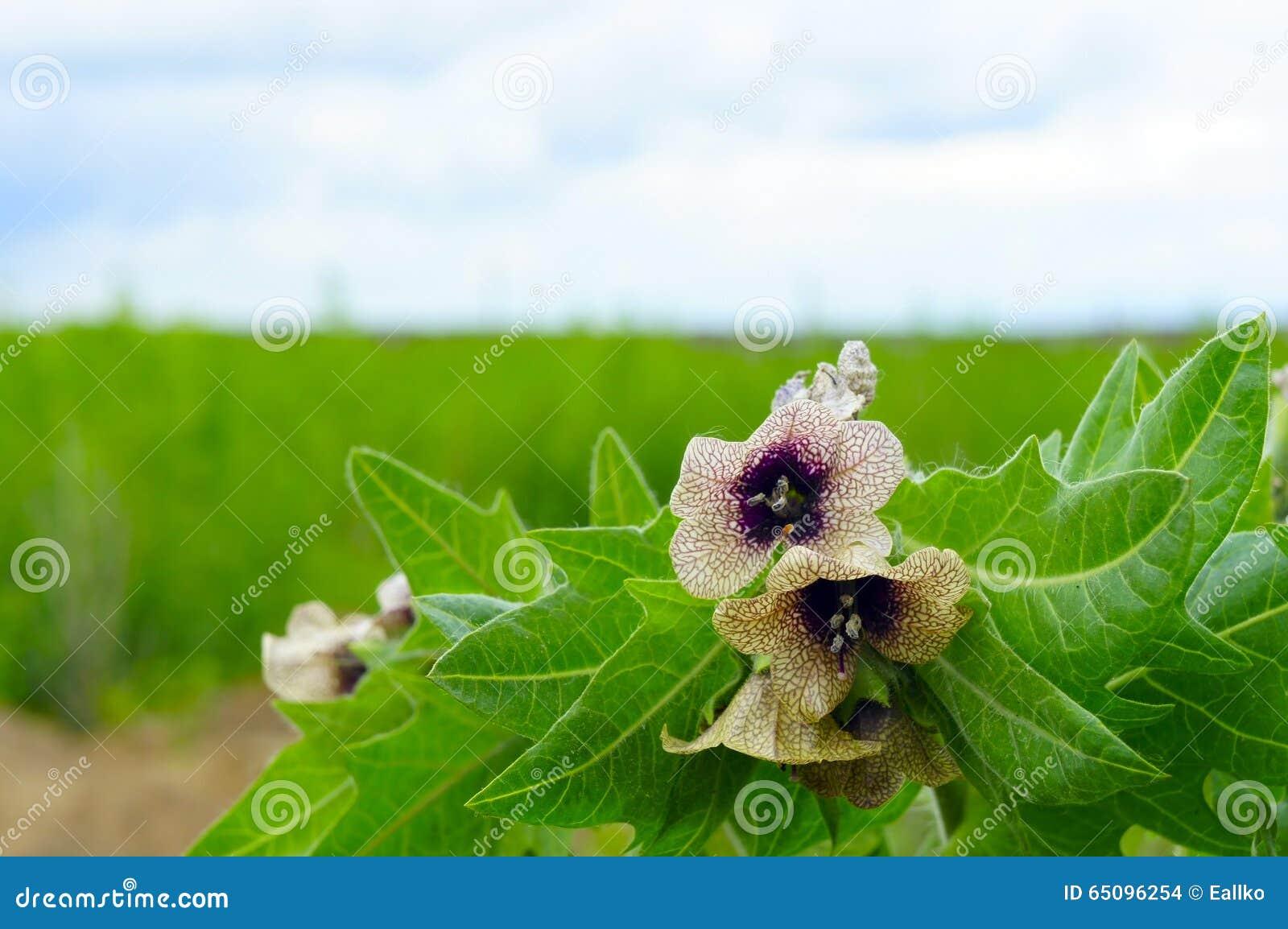 belles fleurs toxiques de fleur avec les feuilles d coup es photo stock image du pistil. Black Bedroom Furniture Sets. Home Design Ideas