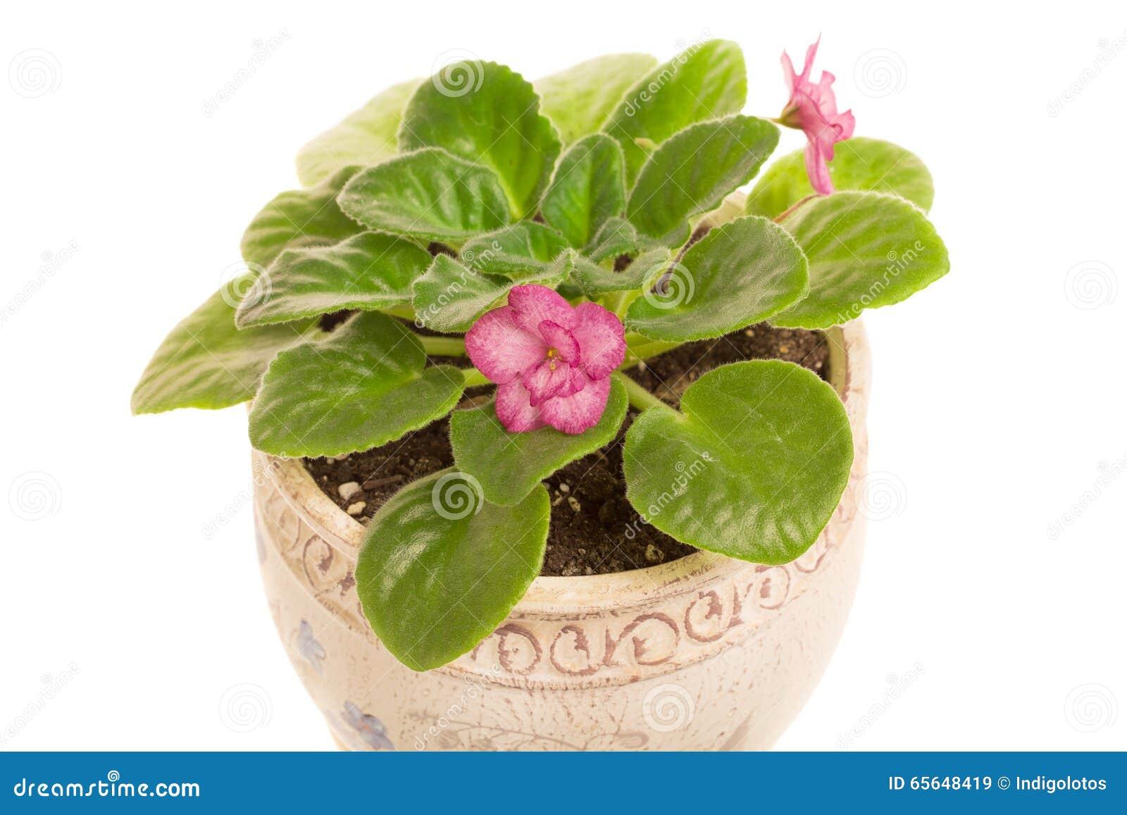 Belles fleurs violettes dans le pot
