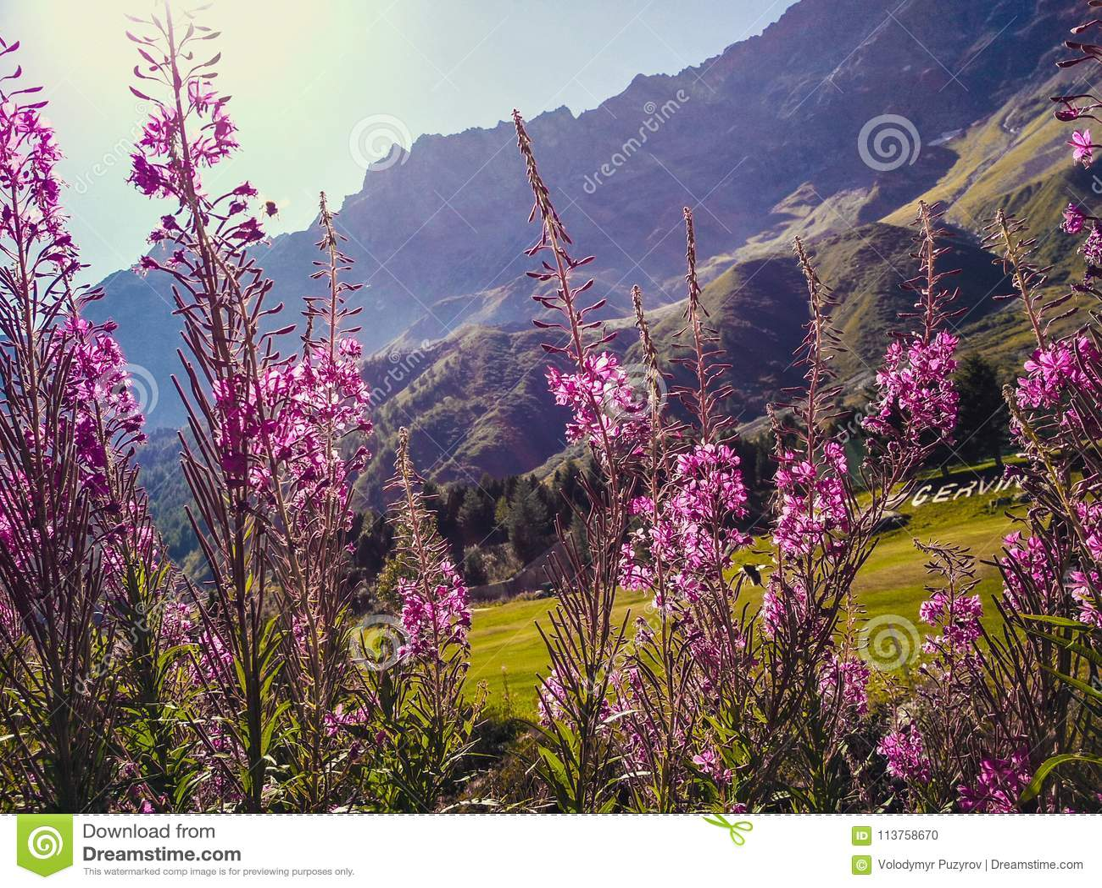 Belles inflorescences de thé sauvage de saule dans les prés alpins, plan rapproché