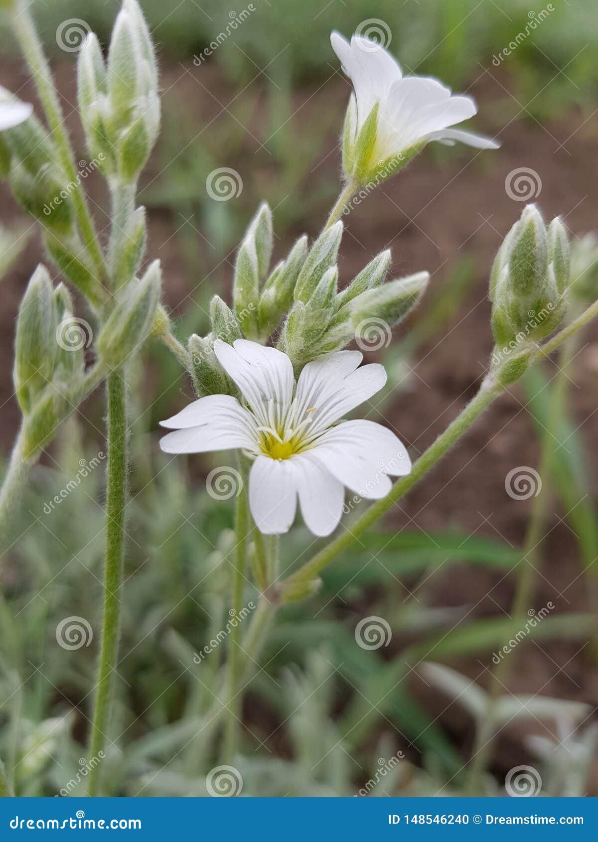 Belles petites fleurs blanches avec les filets gris