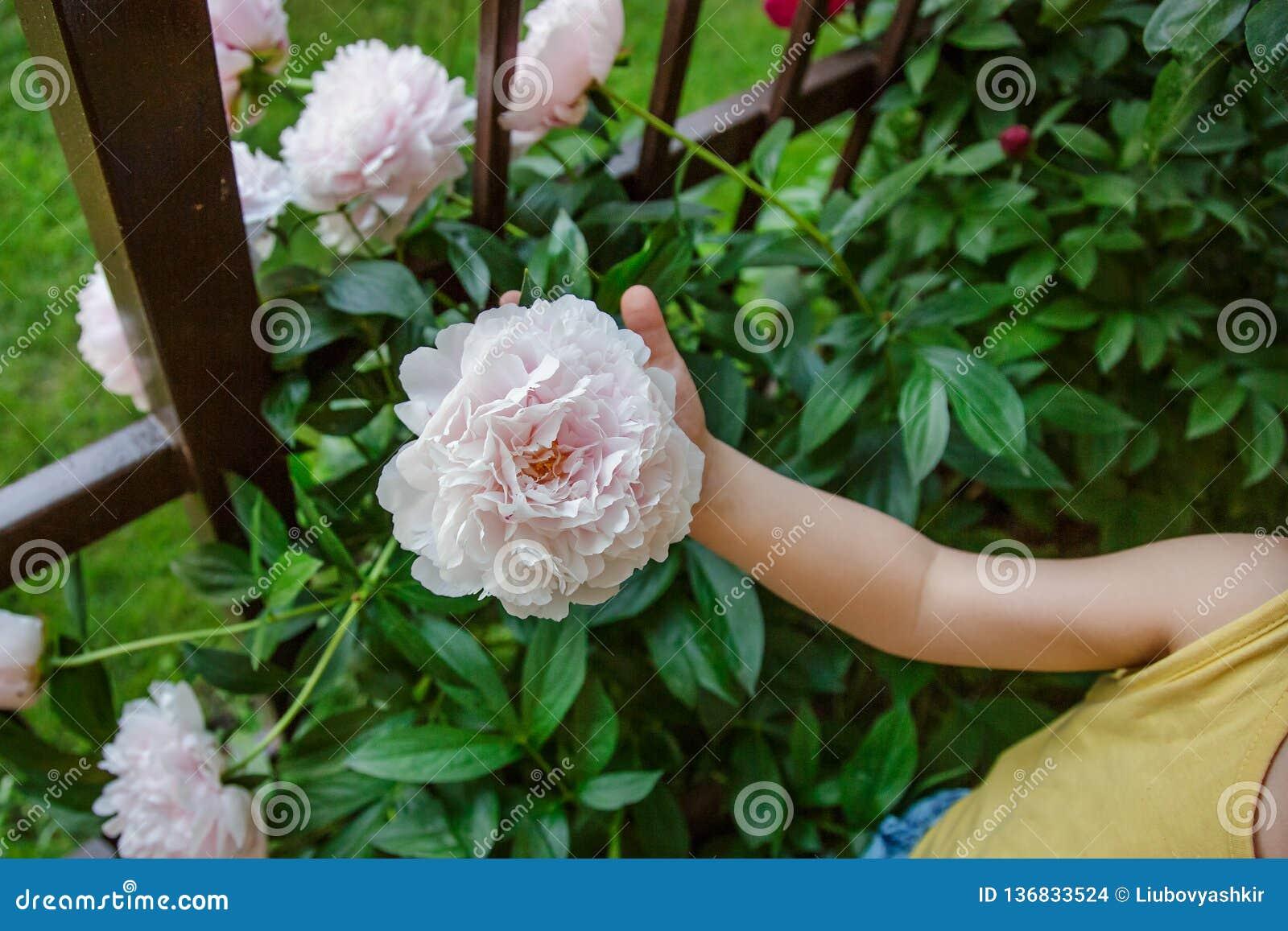Belles pivoines d arbustes dans le jardin Jour ensoleillé dans le jardin