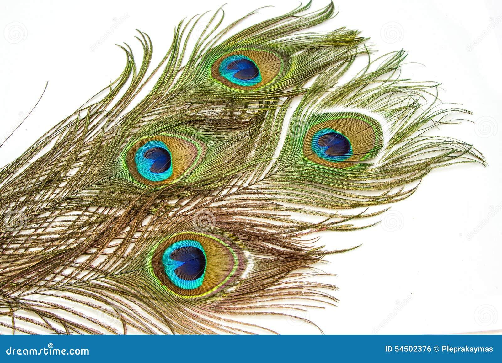 Belles plumes vives de paon