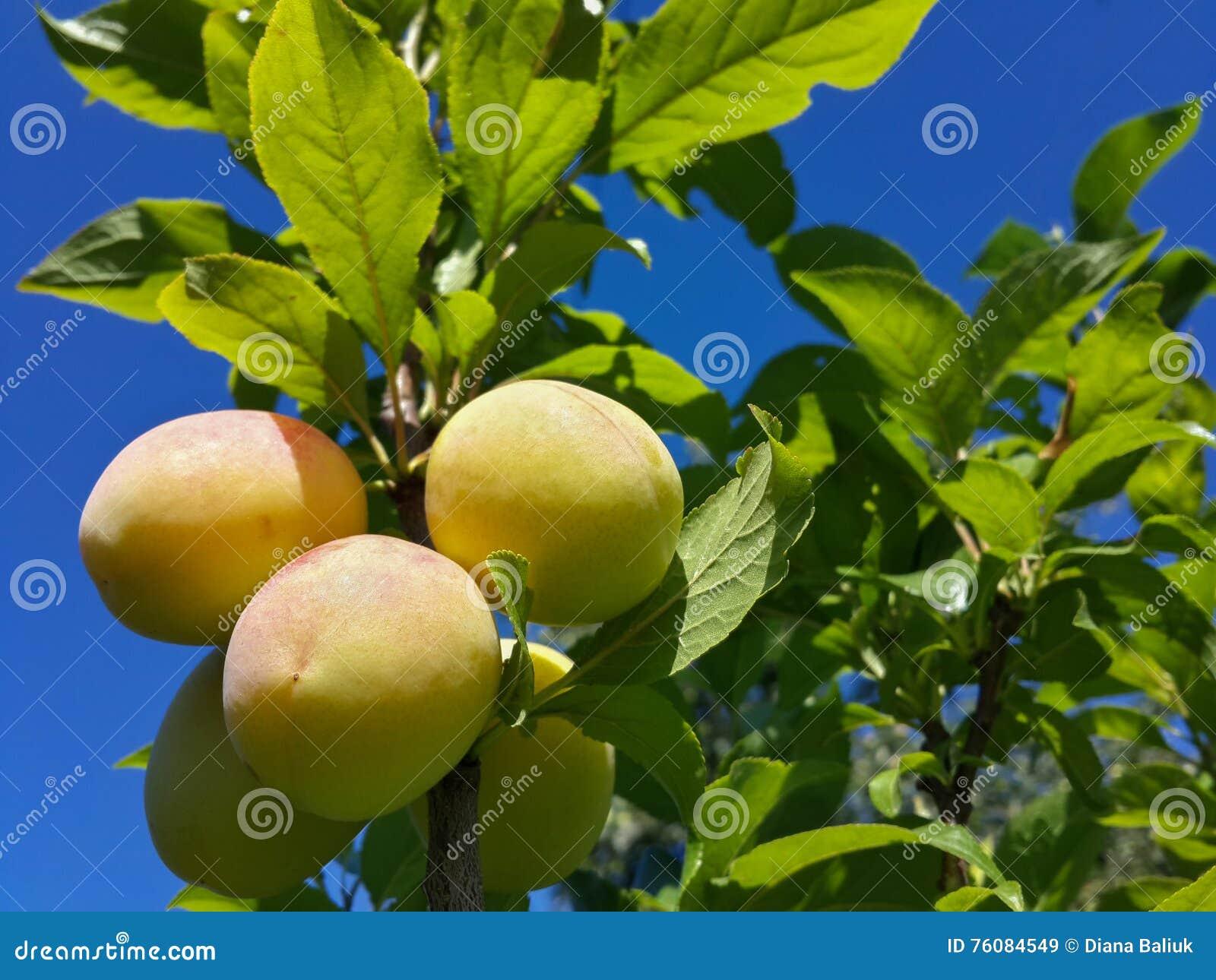 Belles prunes mûres et ciel bleu d été