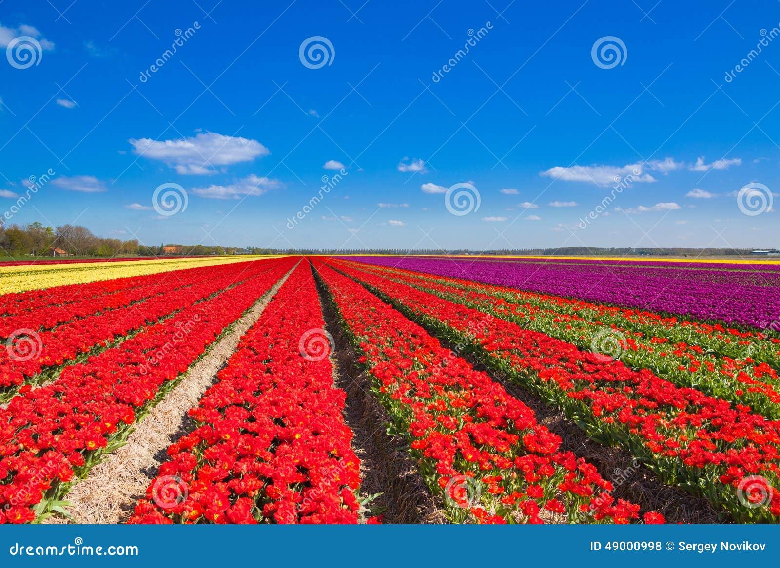 Belles rangées de champ de tulipe avec l horizon de ciel