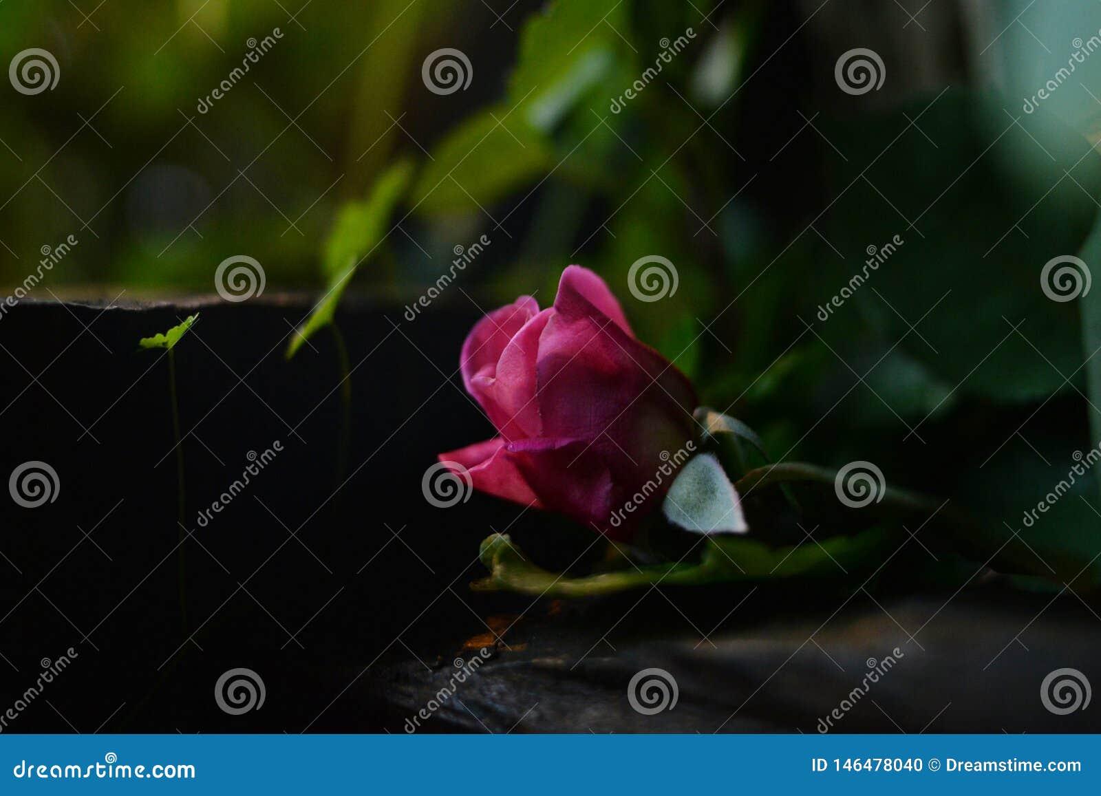 Belles roses roses avec un fond trouble