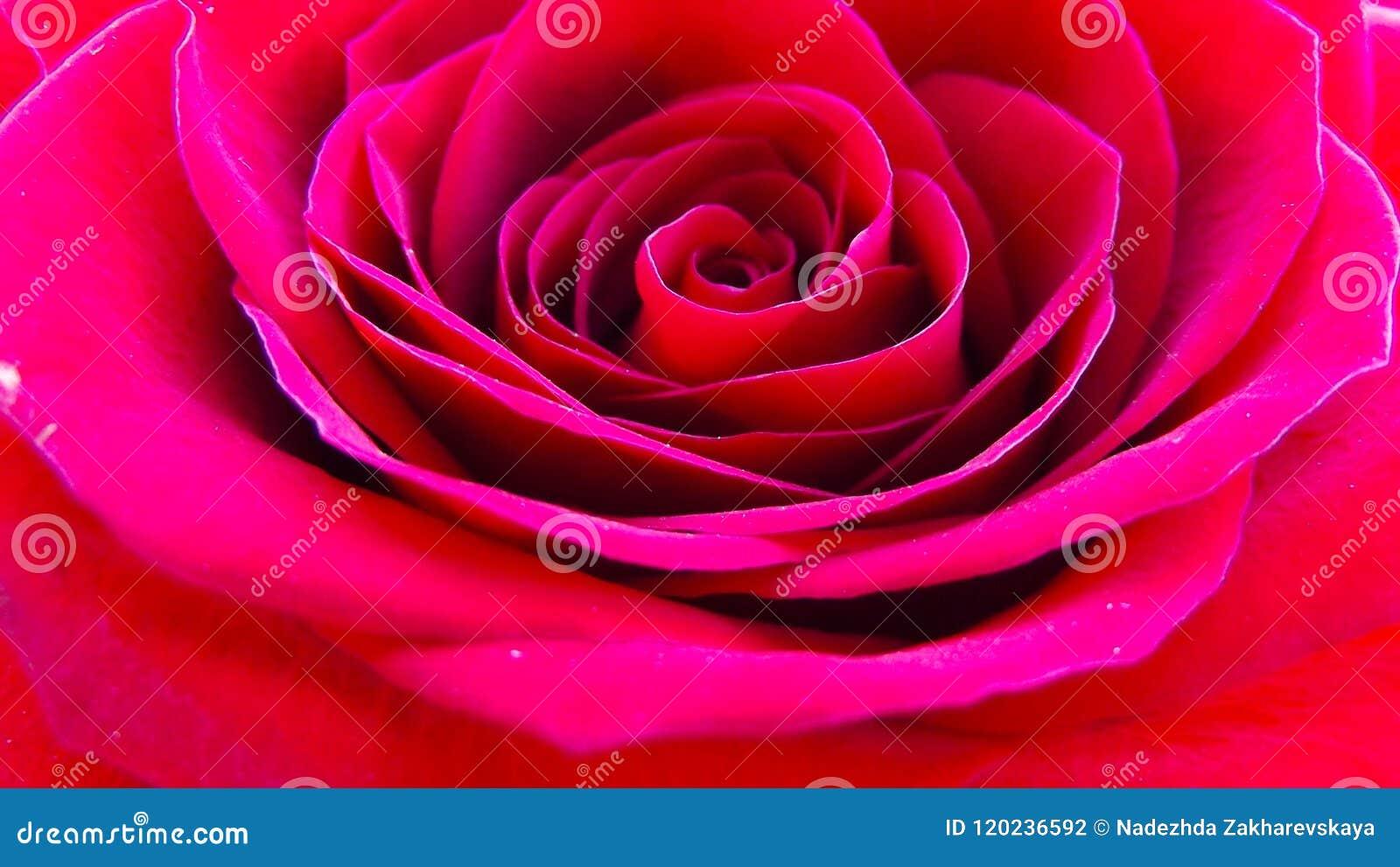 Belles roses dans le jardin
