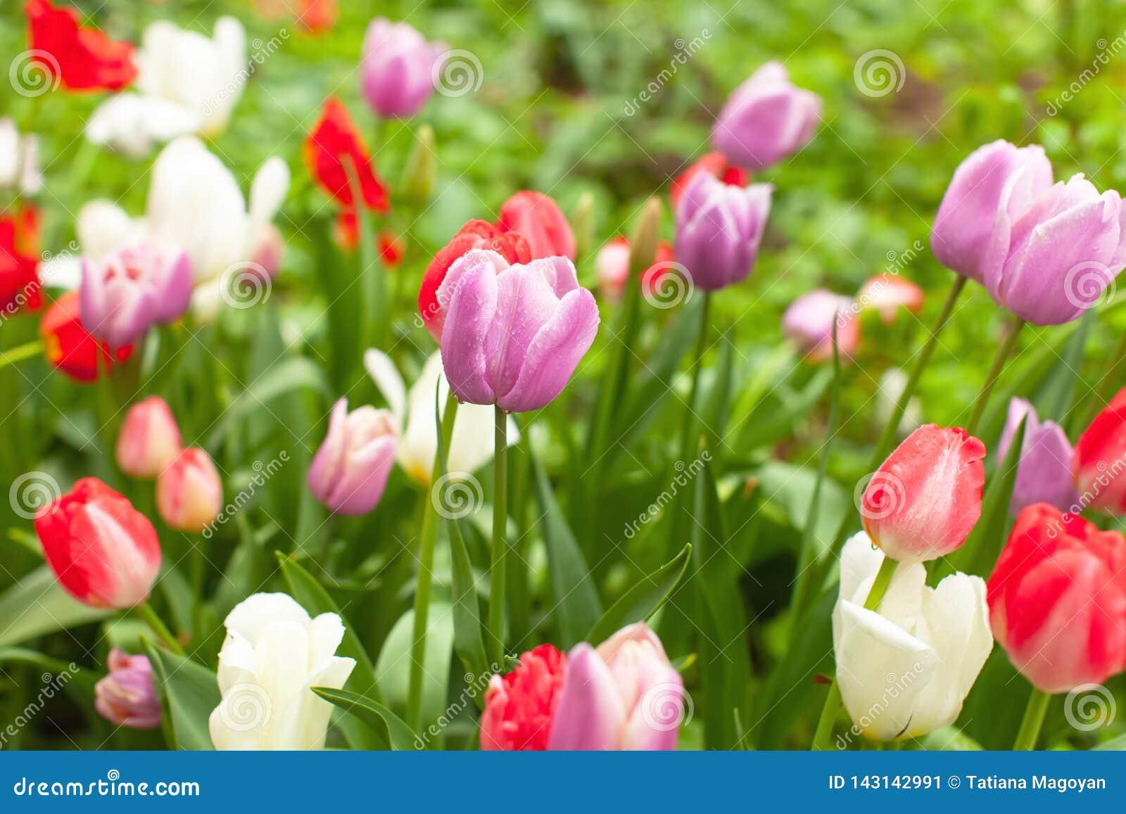 Belles tulipes multicolores lumineuses dans le parterre en parc ou jardin après pluie Les gouttelettes de pluie scintillent sur d
