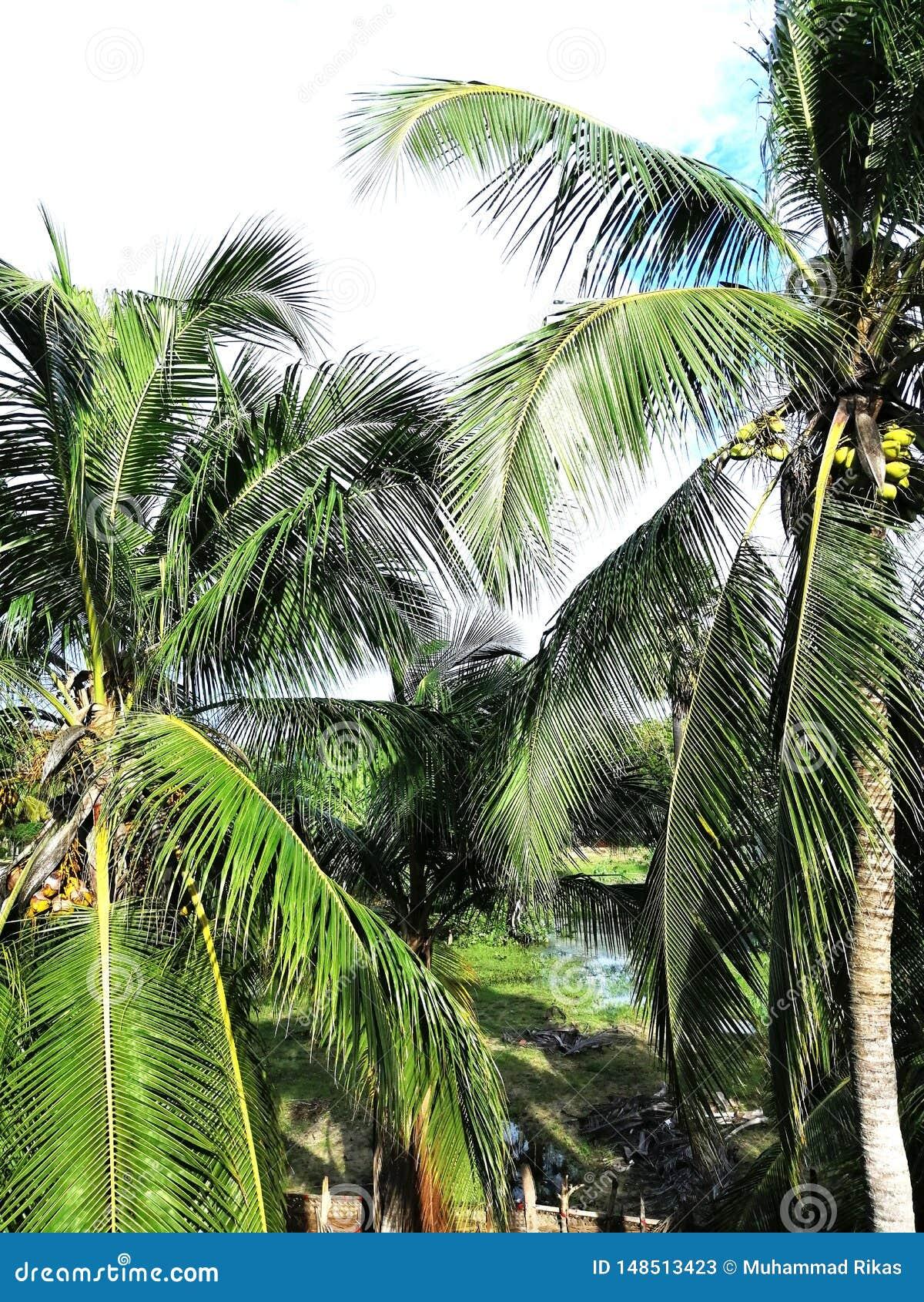 Belleza del árbol de coco