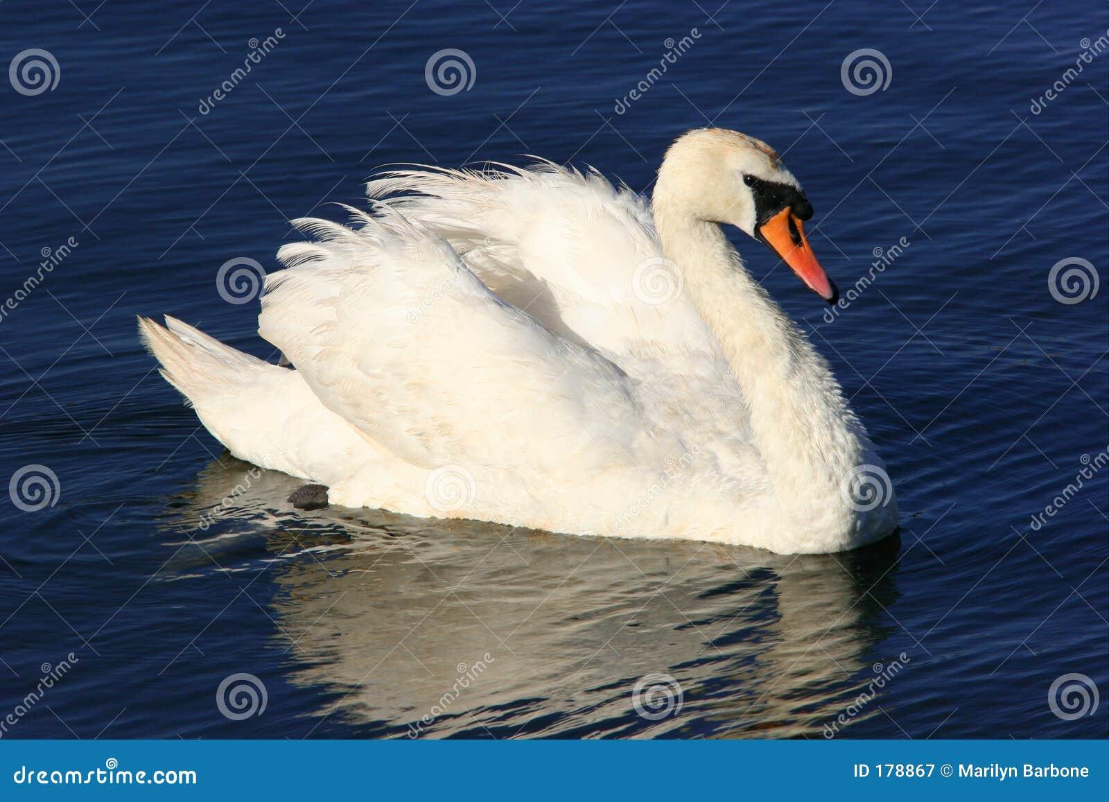 Belleza del cisne