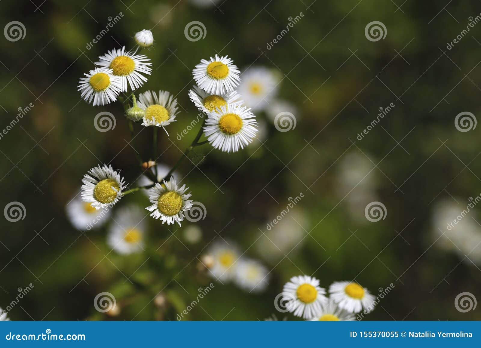 Belleza natural borrosa del fondo Flores blandas de la margarita blanca en el jardín contra un fondo del bokeh
