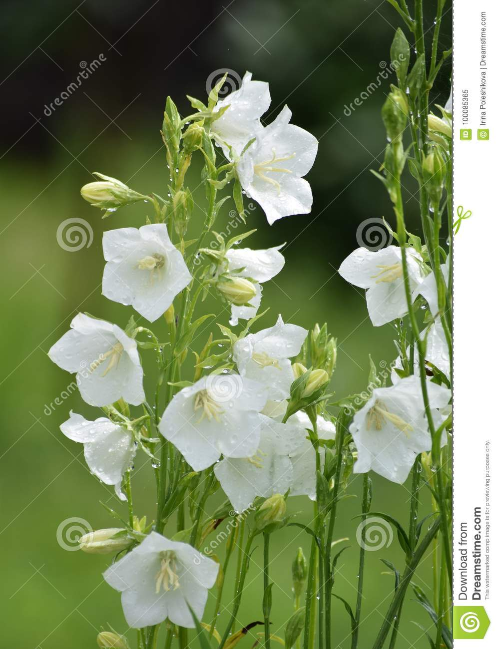 Bell flower stock image image of summer white flowers 100085365 download bell flower stock image image of summer white flowers 100085365 mightylinksfo